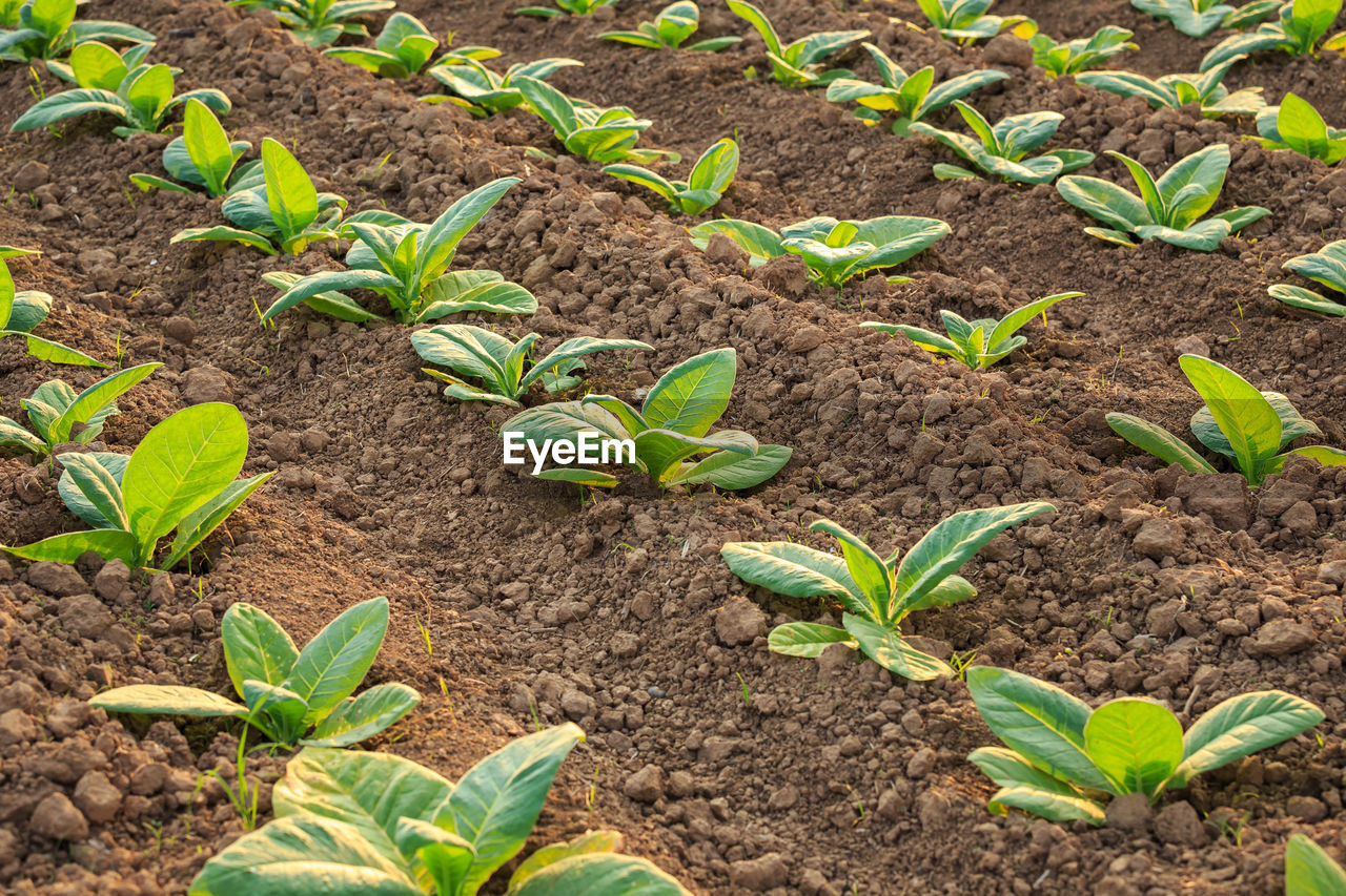 growth, leaf, plant part, dirt, plant, field, agriculture, nature, land, beginnings, green color, seedling, crop, no people, gardening, vegetable, farm, beauty in nature, garden, high angle view, outdoors, planting, mud