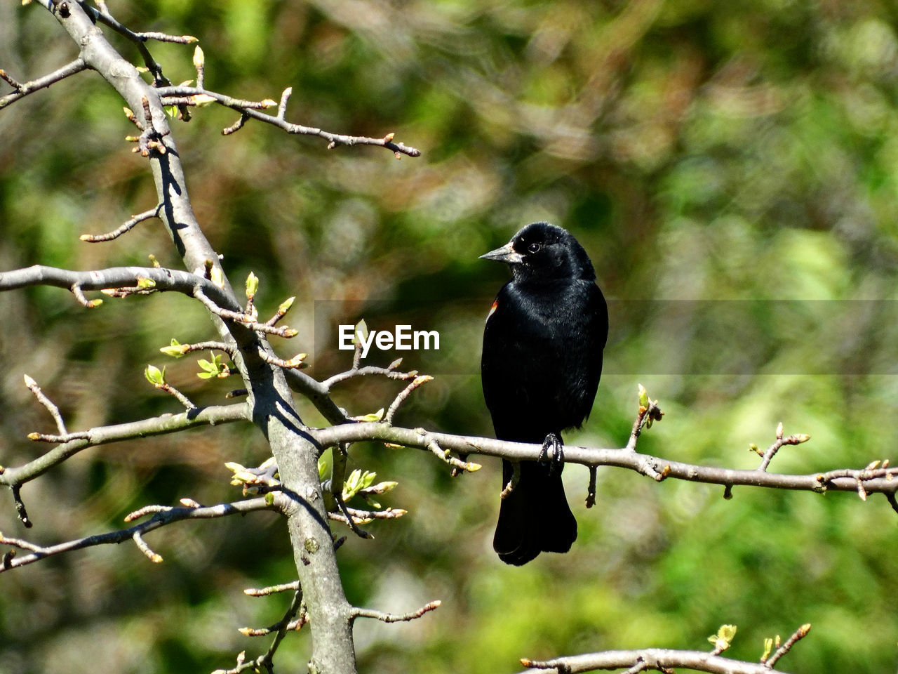 bird, animals in the wild, animal themes, one animal, perching, animal wildlife, focus on foreground, black color, blackbird, nature, day, crow, raven - bird, branch, no people, outdoors, tree, close-up