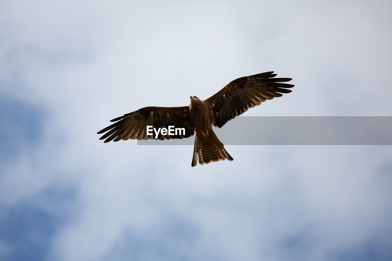 flying, spread wings, bird, animals in the wild, low angle view, sky, vertebrate, animal wildlife, animal themes, animal, one animal, cloud - sky, bird of prey, mid-air, no people, nature, day, motion, outdoors, beauty in nature, eagle