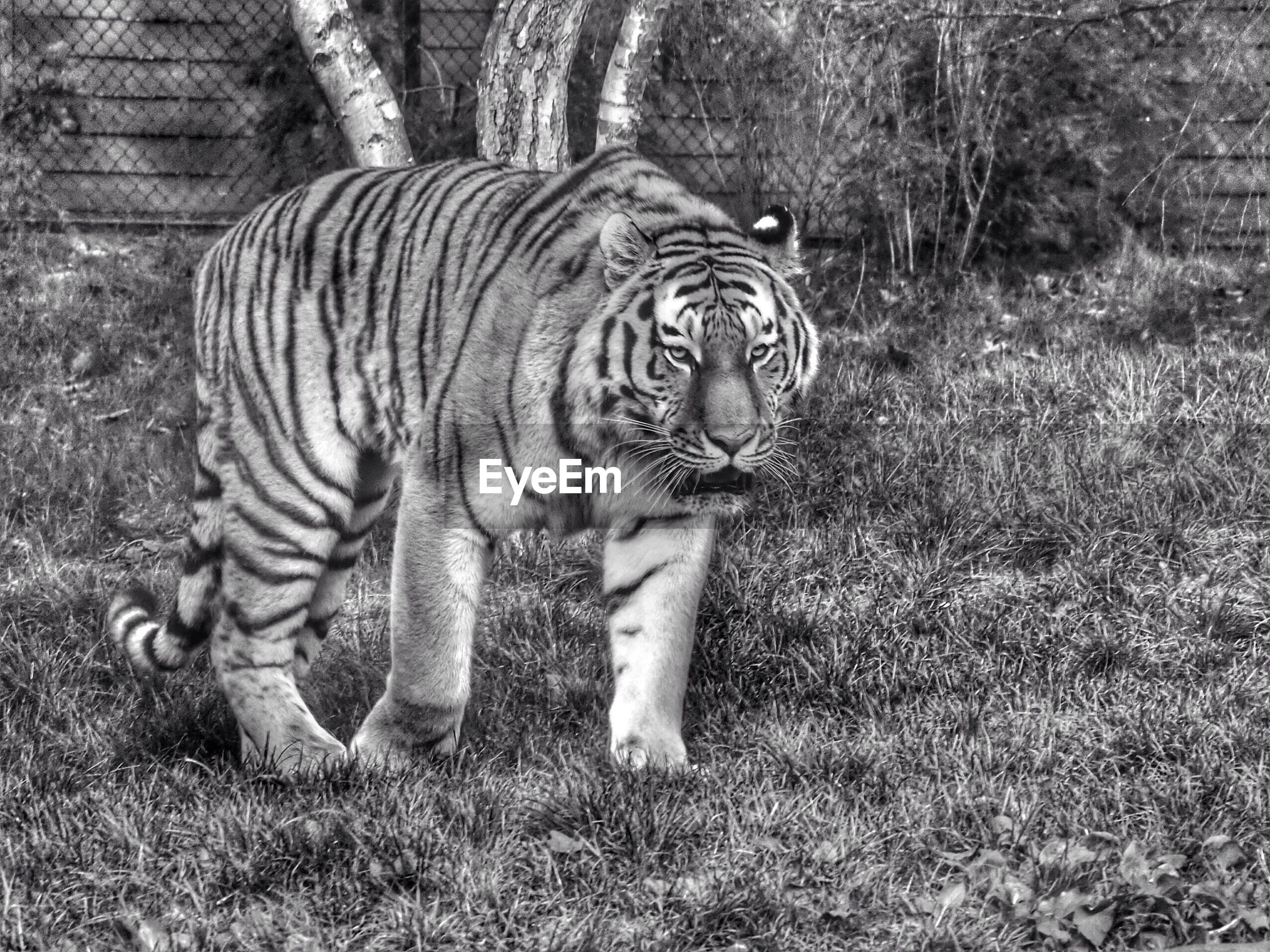 Tiger on field at zoo