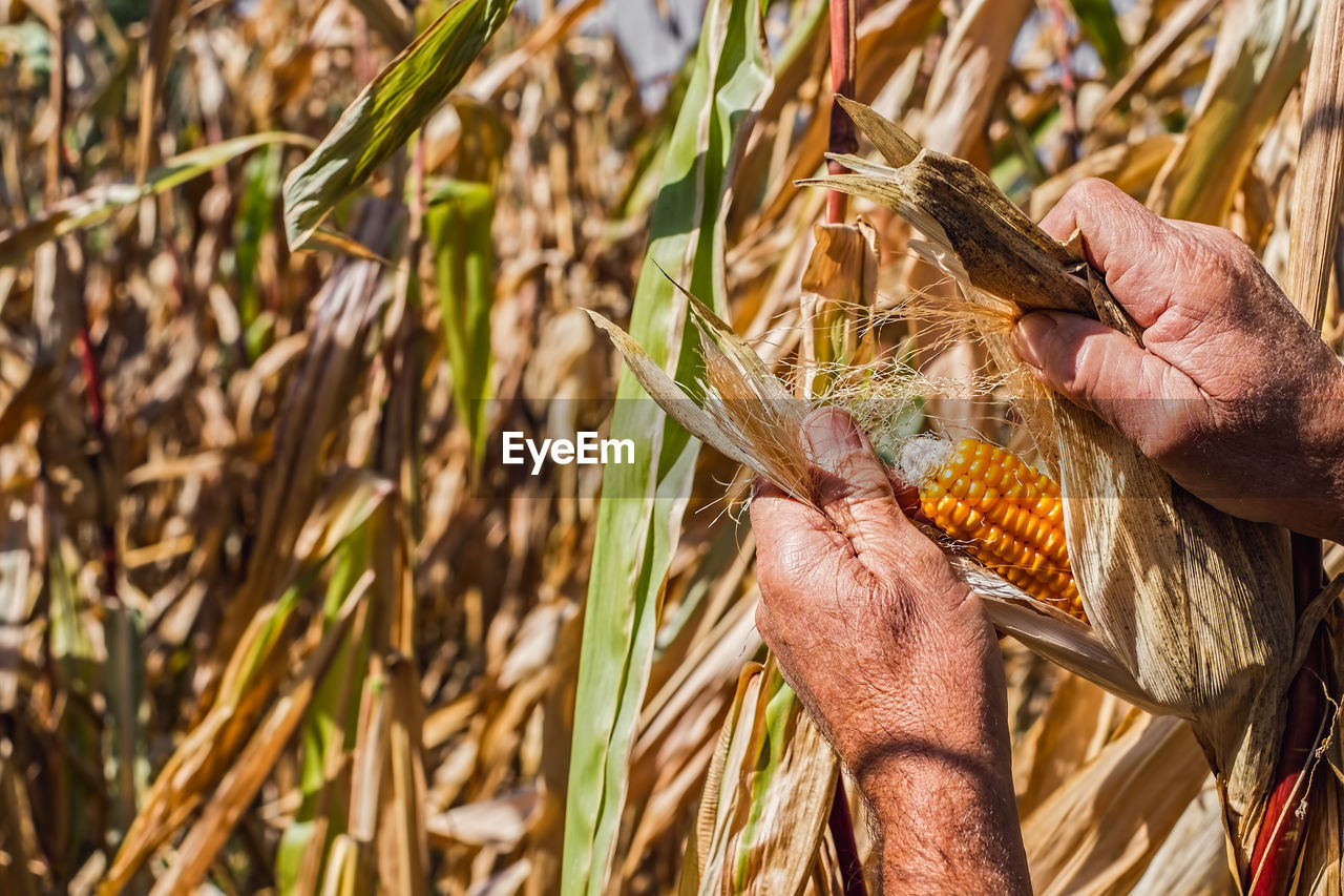 Cropped Hands Of Male Farmer Harvesting Corn At Farm