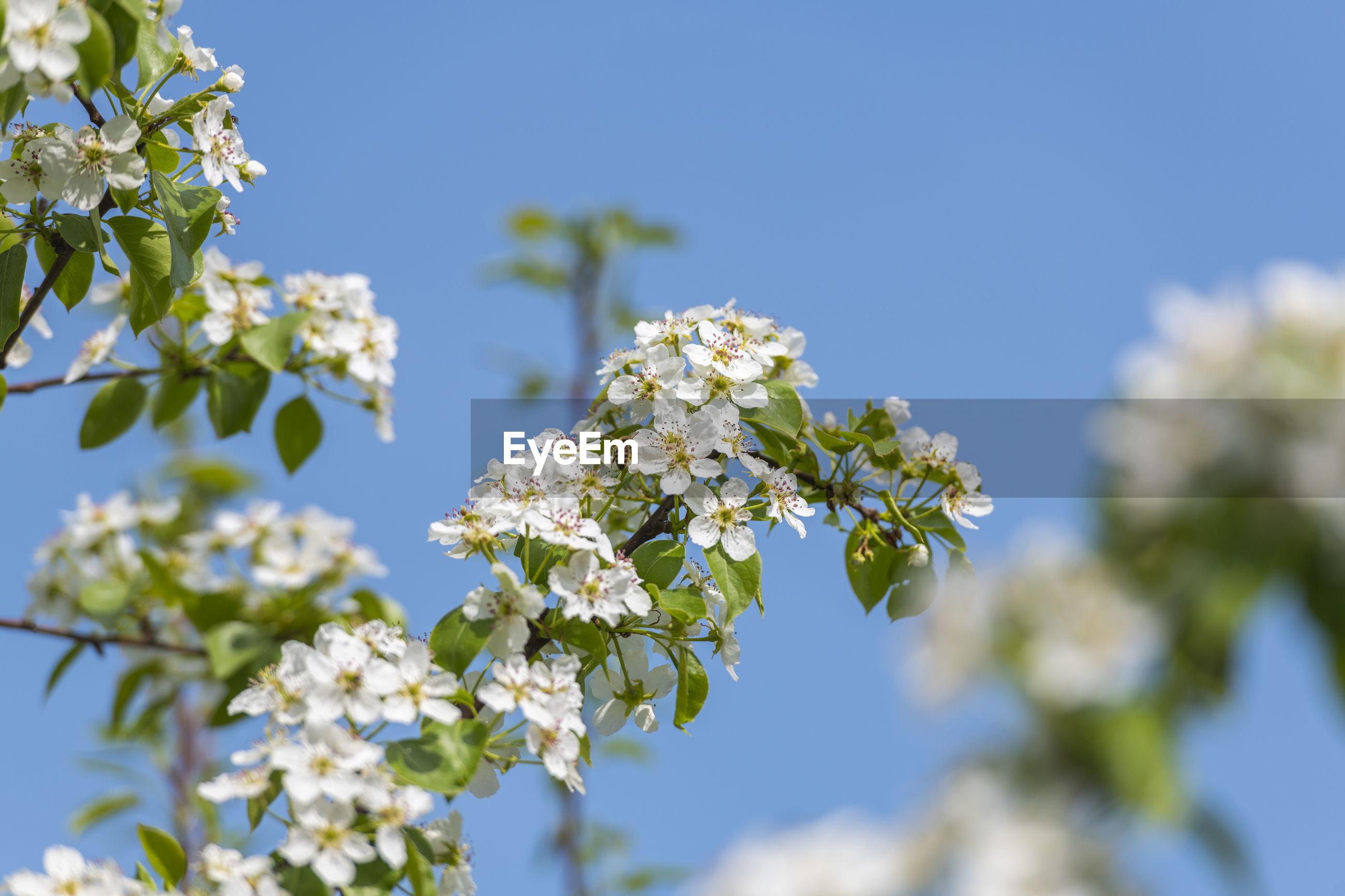 LOW ANGLE VIEW OF WHITE FLOWERING TREE AGAINST SKY
