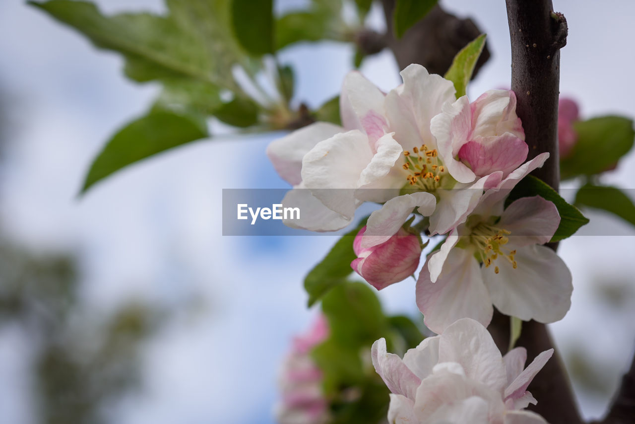 flowering plant, flower, plant, fragility, vulnerability, beauty in nature, freshness, petal, growth, close-up, inflorescence, white color, flower head, focus on foreground, nature, no people, tree, blossom, day, pollen, springtime, outdoors, cherry blossom, cherry tree