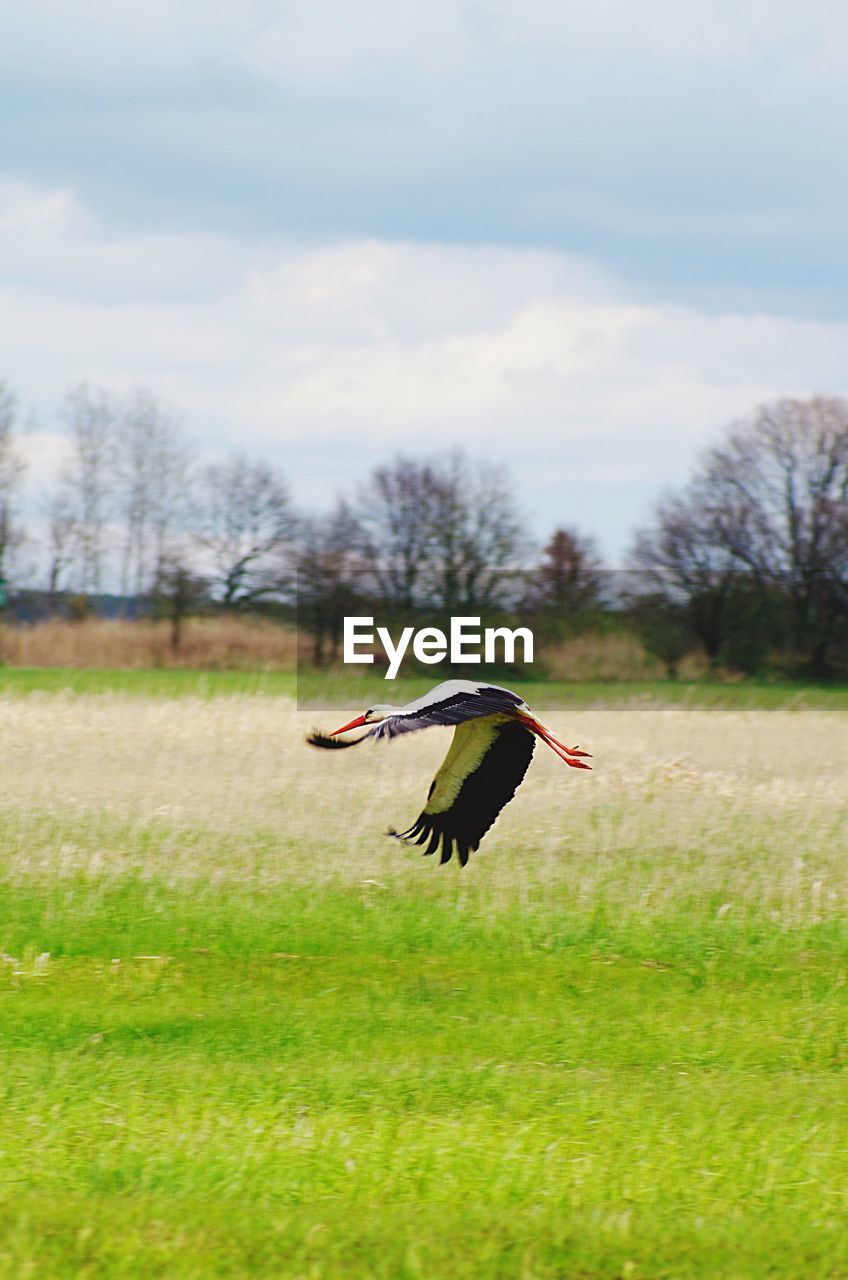 bird, one animal, animals in the wild, animal themes, animal wildlife, spread wings, field, stork, grass, mid-air, flying, day, nature, white stork, motion, focus on foreground, sky, outdoors, no people, green color, tree, beauty in nature