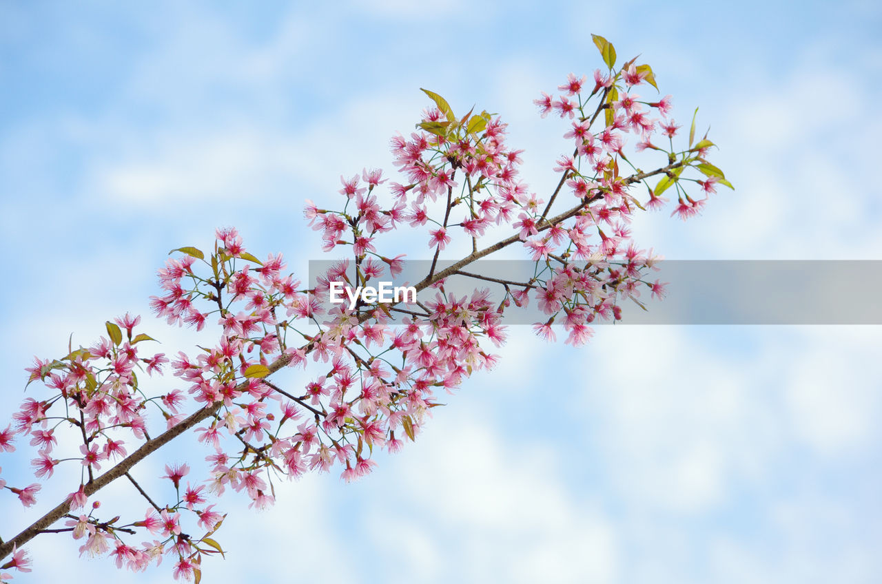 flowering plant, plant, flower, growth, sky, fragility, freshness, beauty in nature, low angle view, vulnerability, tree, nature, day, pink color, branch, blossom, close-up, springtime, focus on foreground, no people, outdoors, flower head, cherry blossom, cherry tree, spring