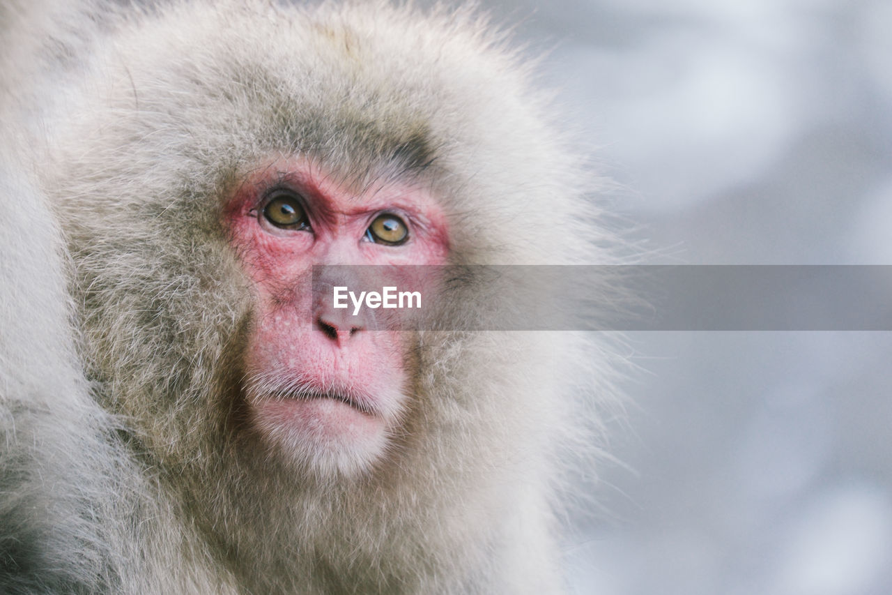 animal, monkey, animal themes, animal wildlife, primate, animals in the wild, mammal, one animal, japanese macaque, portrait, close-up, vertebrate, animal hair, looking at camera, focus on foreground, cold temperature, no people, day, animal head, hair