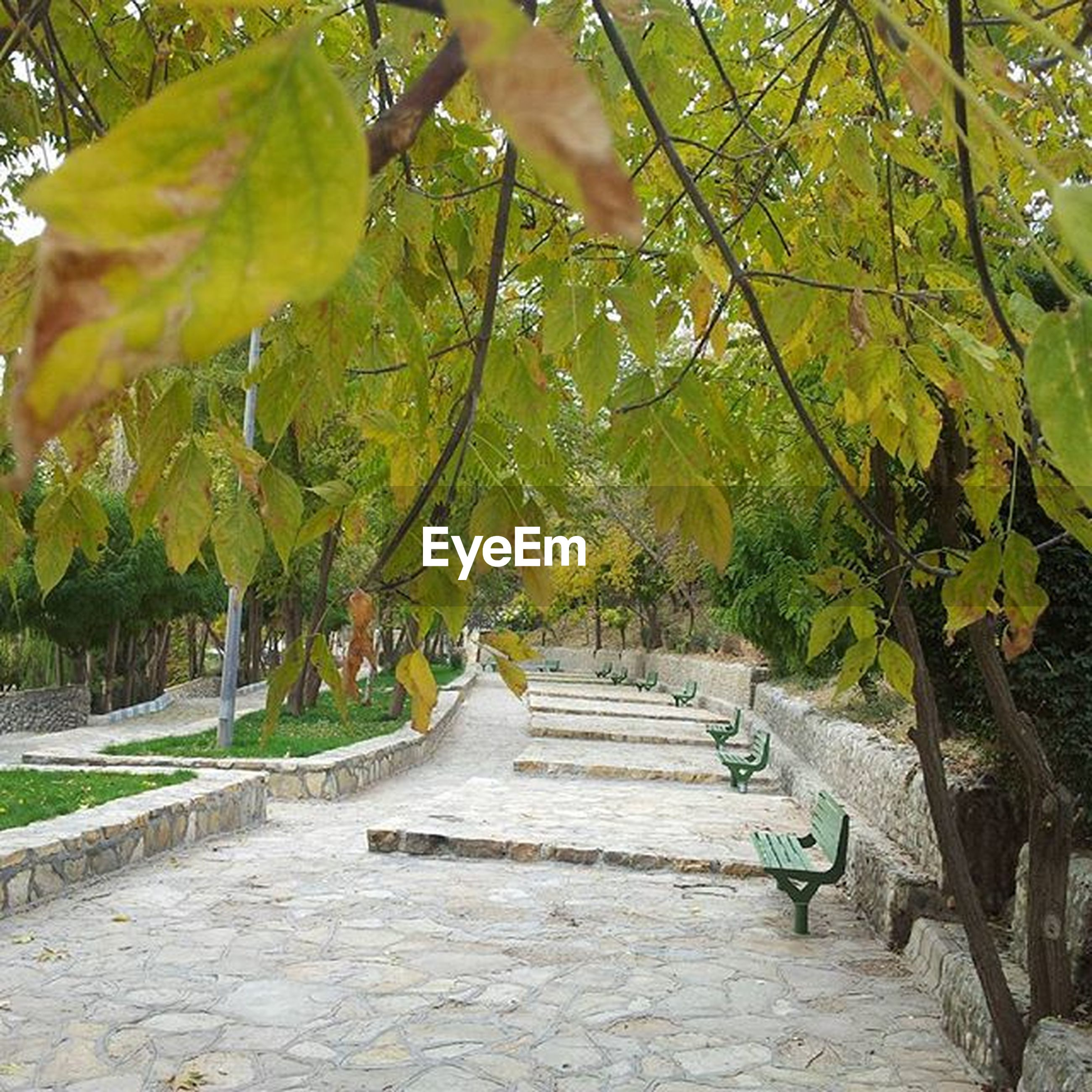 tree, the way forward, leaf, growth, branch, footpath, nature, green color, tranquility, walkway, park - man made space, autumn, beauty in nature, day, outdoors, sunlight, pathway, diminishing perspective, tree trunk, change