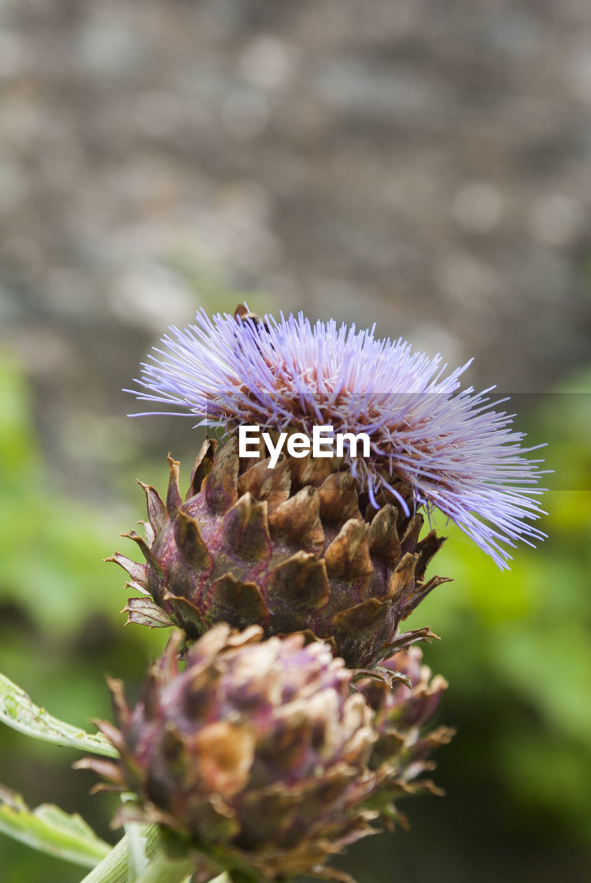 flower, flowering plant, plant, beauty in nature, close-up, fragility, vulnerability, freshness, growth, flower head, petal, inflorescence, thistle, nature, no people, day, focus on foreground, selective focus, purple, outdoors, pollination, pollen