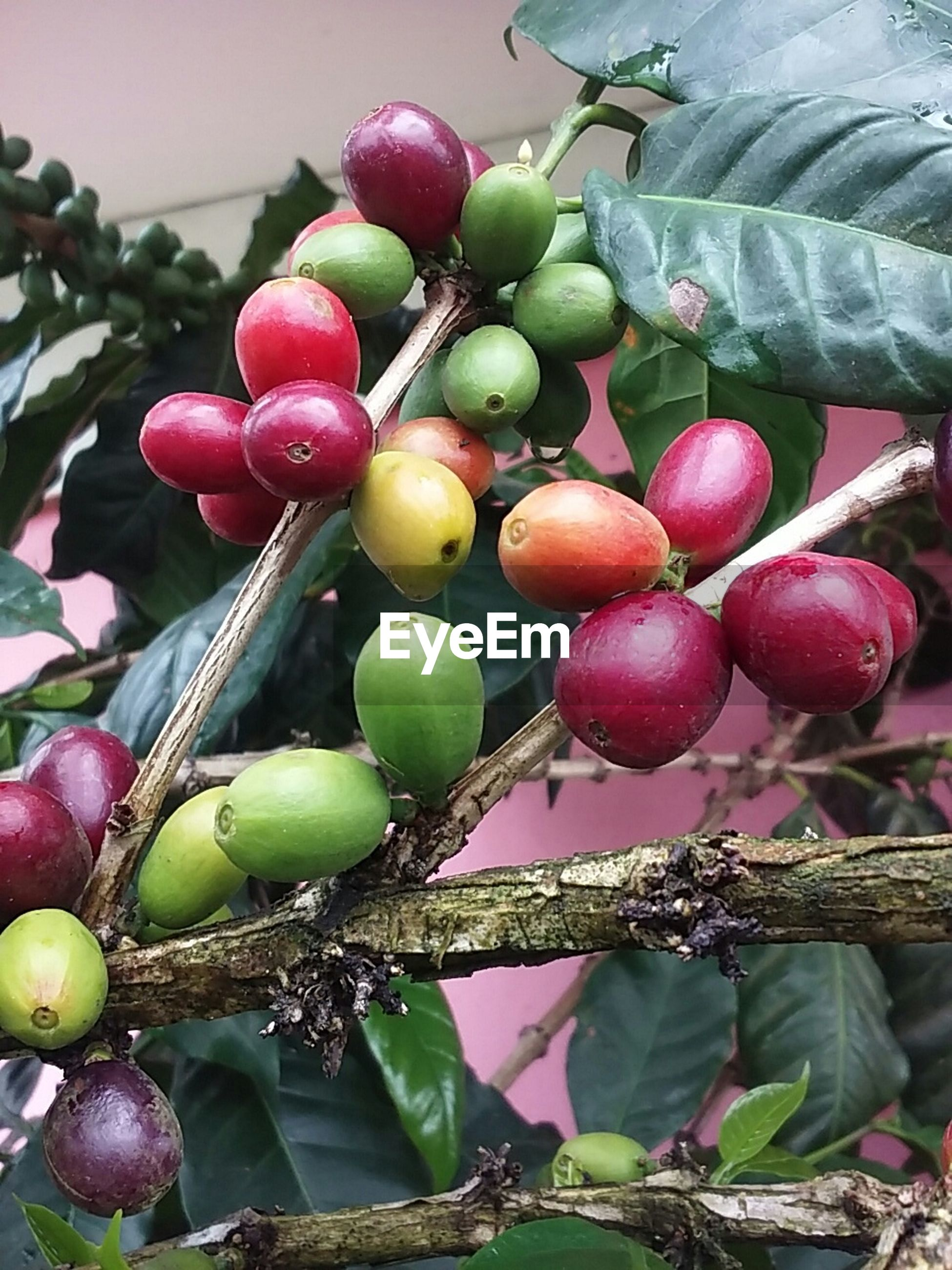 fruit, food and drink, food, healthy eating, freshness, growth, green color, leaf, hanging, ripe, grape, tree, branch, berry fruit, close-up, agriculture, plant, day, bunch, nature
