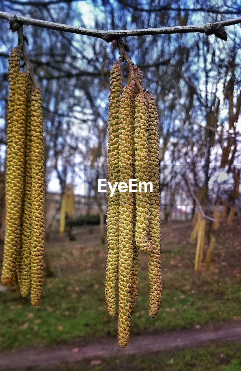 Catkins hanging on tree over field