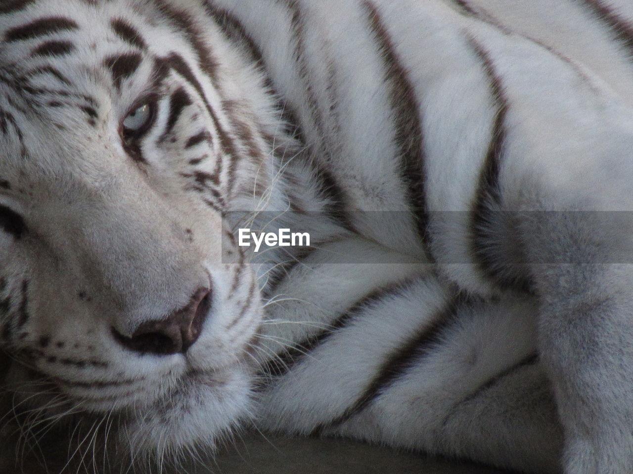 feline, cat, one animal, animal, mammal, animal themes, tiger, big cat, relaxation, animal wildlife, white tiger, close-up, no people, vertebrate, domestic animals, animal body part, resting, whisker, pets, animal head, undomesticated cat