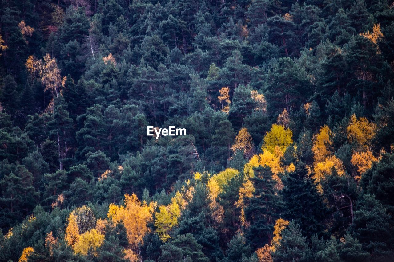 Full Frame Shot Of Pine Trees In Forest During Autumn