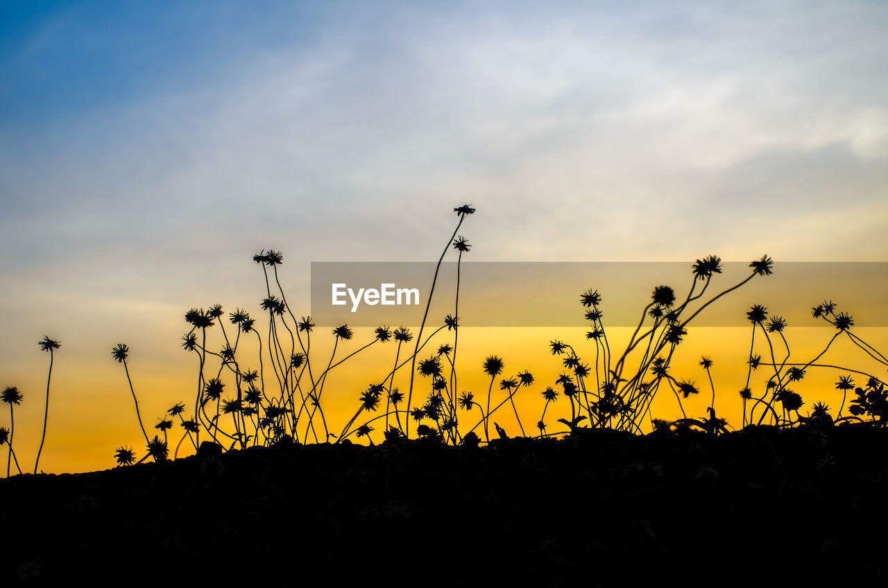 sunset, nature, beauty in nature, silhouette, growth, sky, tranquility, tranquil scene, scenics, plant, outdoors, no people, yellow, cloud - sky, rural scene, flower, flower head, day