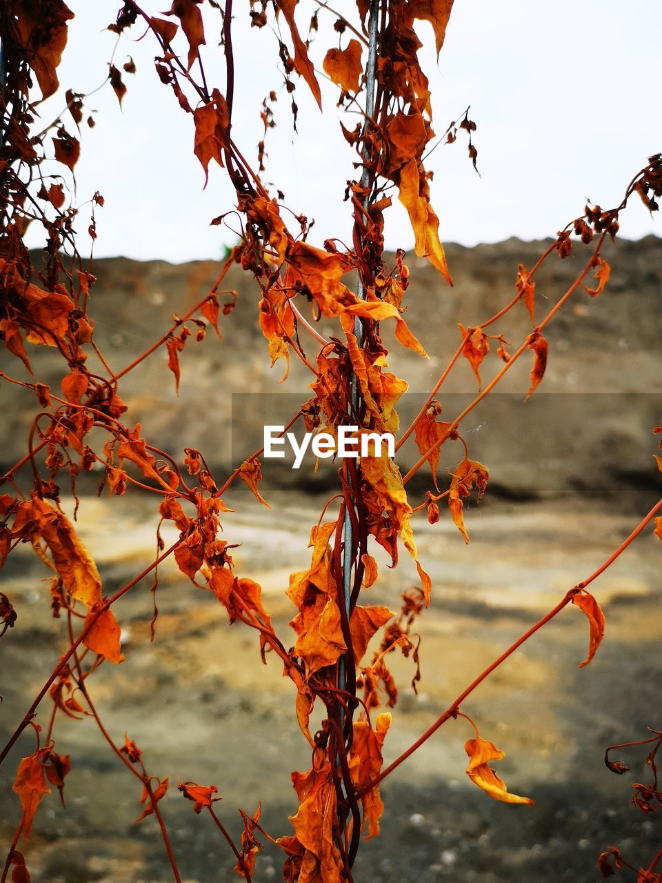 plant, change, leaf, autumn, plant part, orange color, growth, beauty in nature, nature, no people, tree, focus on foreground, branch, day, outdoors, red, close-up, leaves, food, sky, maple leaf, autumn collection, natural condition