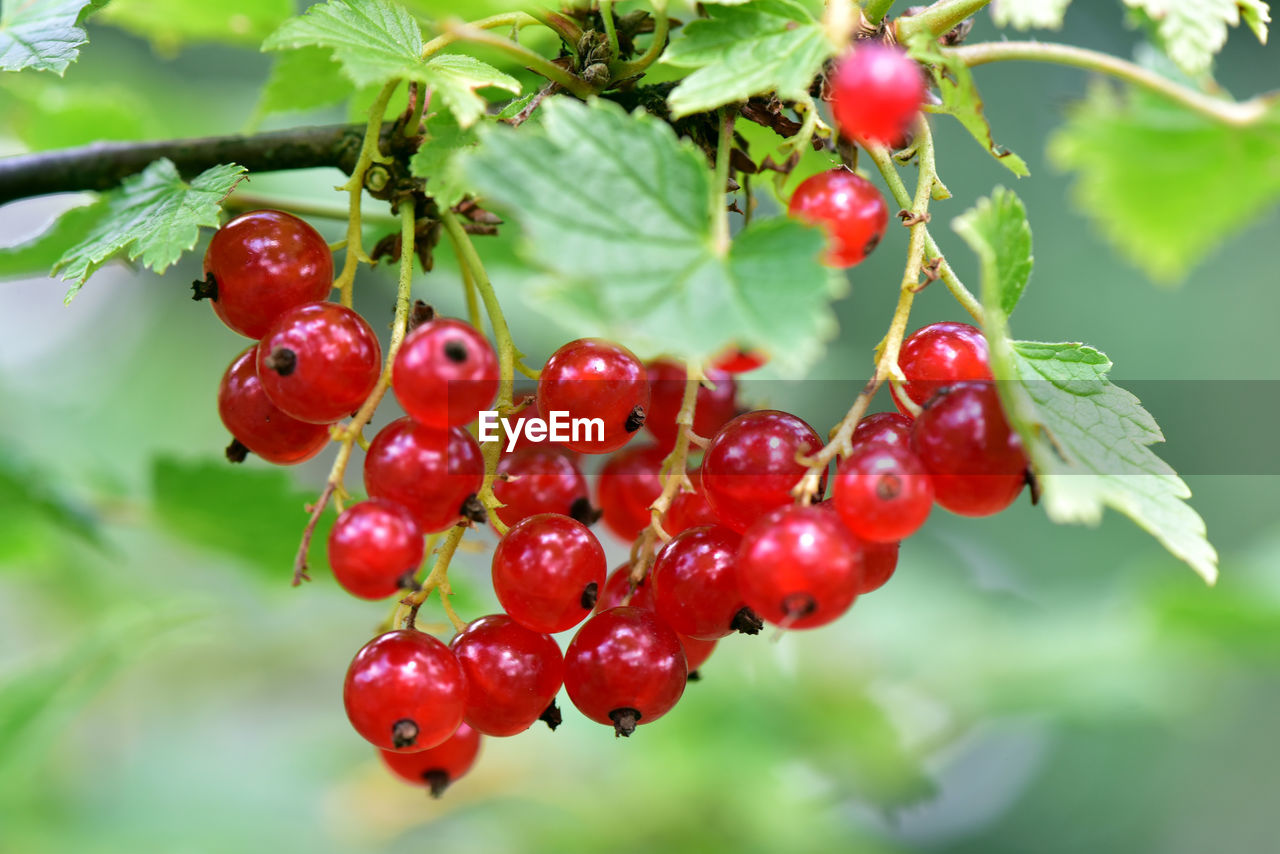 red, fruit, food and drink, growth, nature, focus on foreground, growing, rowanberry, food, outdoors, tree, day, green color, no people, close-up, leaf, freshness, healthy eating, beauty in nature, plant, branch, water