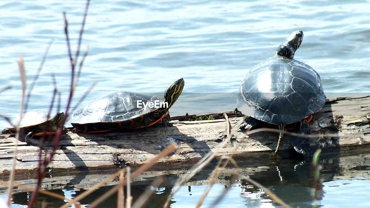 water, animal themes, nature, animals in the wild, turtle, day, reflection, no people, lake, reptile, animal wildlife, one animal, outdoors, tortoise, swimming, beauty in nature, close-up, bird, tortoise shell