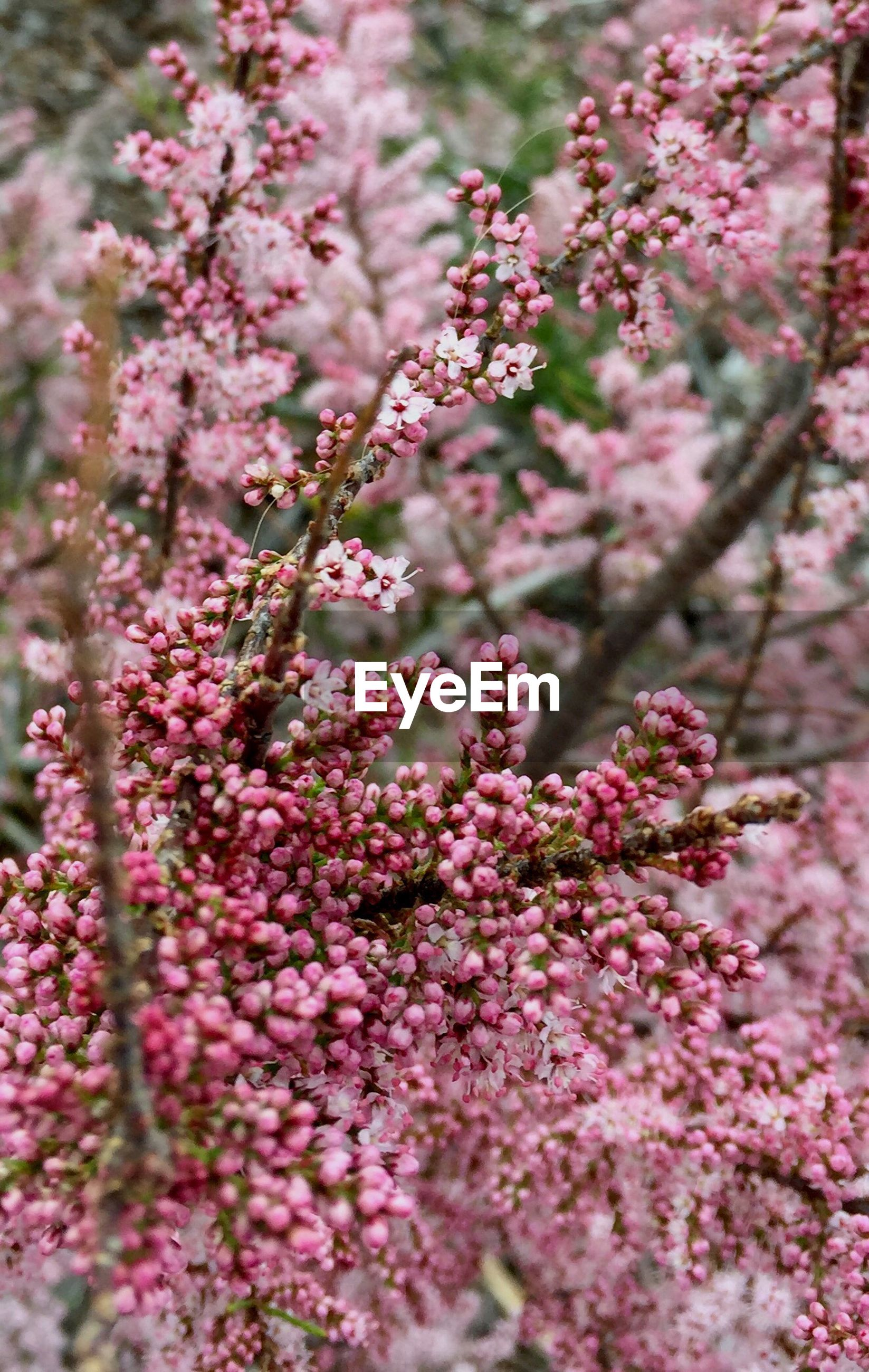 flower, nature, growth, freshness, pink color, blossom, beauty in nature, tree, fragility, plant, close-up, petal, no people, day, outdoors, flower head, lilac