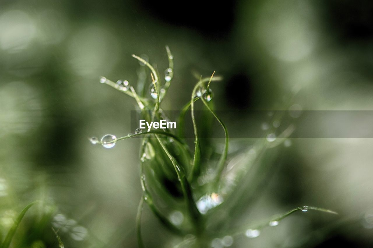 drop, plant, water, close-up, selective focus, wet, green color, growth, fragility, beauty in nature, vulnerability, no people, nature, day, plant part, leaf, freshness, outdoors, dew, rain, purity, raindrop, blade of grass