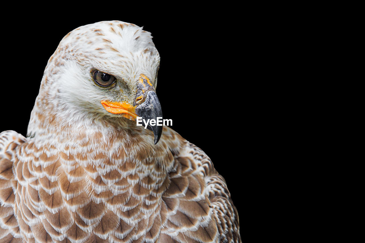 bird, vertebrate, animal themes, animal, one animal, animals in the wild, animal wildlife, black background, bird of prey, close-up, studio shot, animal body part, no people, beak, copy space, looking away, looking, animal head, eagle - bird, focus on foreground, eagle, falcon - bird, animal eye