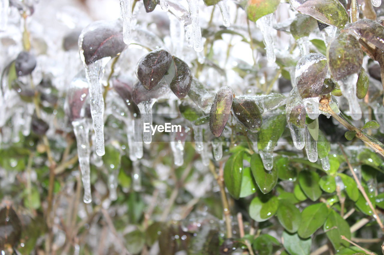 water, plant, close-up, nature, drop, no people, beauty in nature, focus on foreground, wet, cold temperature, day, growth, ice, frozen, winter, outdoors, plant part, leaf, purity, icicle, raindrop, rain, dew, purple, melting