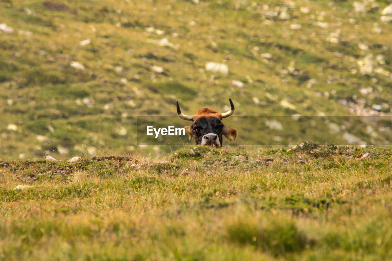 one animal, animal themes, animal, grass, field, mammal, land, domestic animals, selective focus, plant, domestic, vertebrate, pets, nature, green color, no people, day, animal wildlife, horned, growth, outdoors, herbivorous