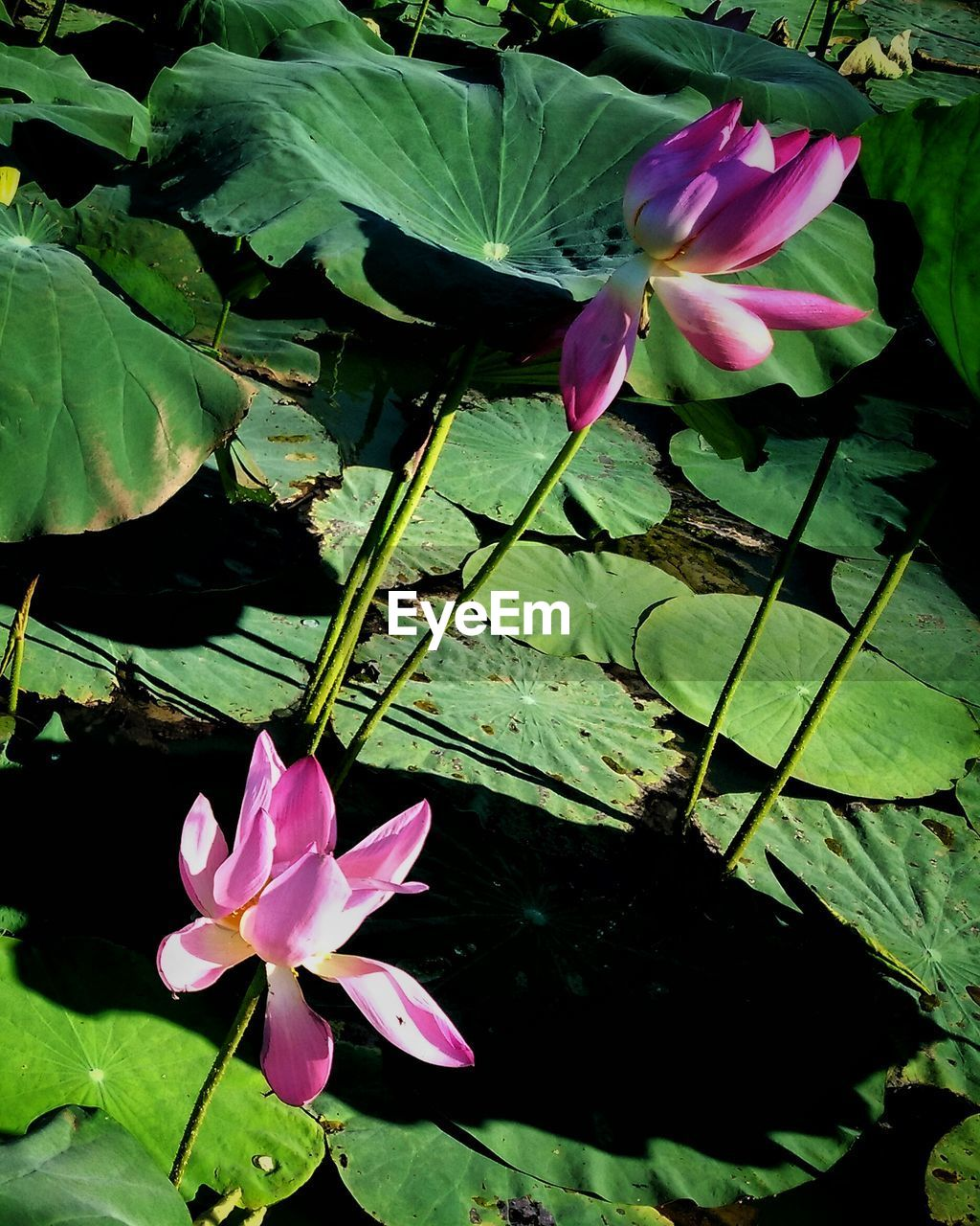flower, petal, growth, leaf, beauty in nature, nature, freshness, fragility, plant, pink color, flower head, green color, no people, blooming, outdoors, day, high angle view, close-up, lotus water lily, periwinkle