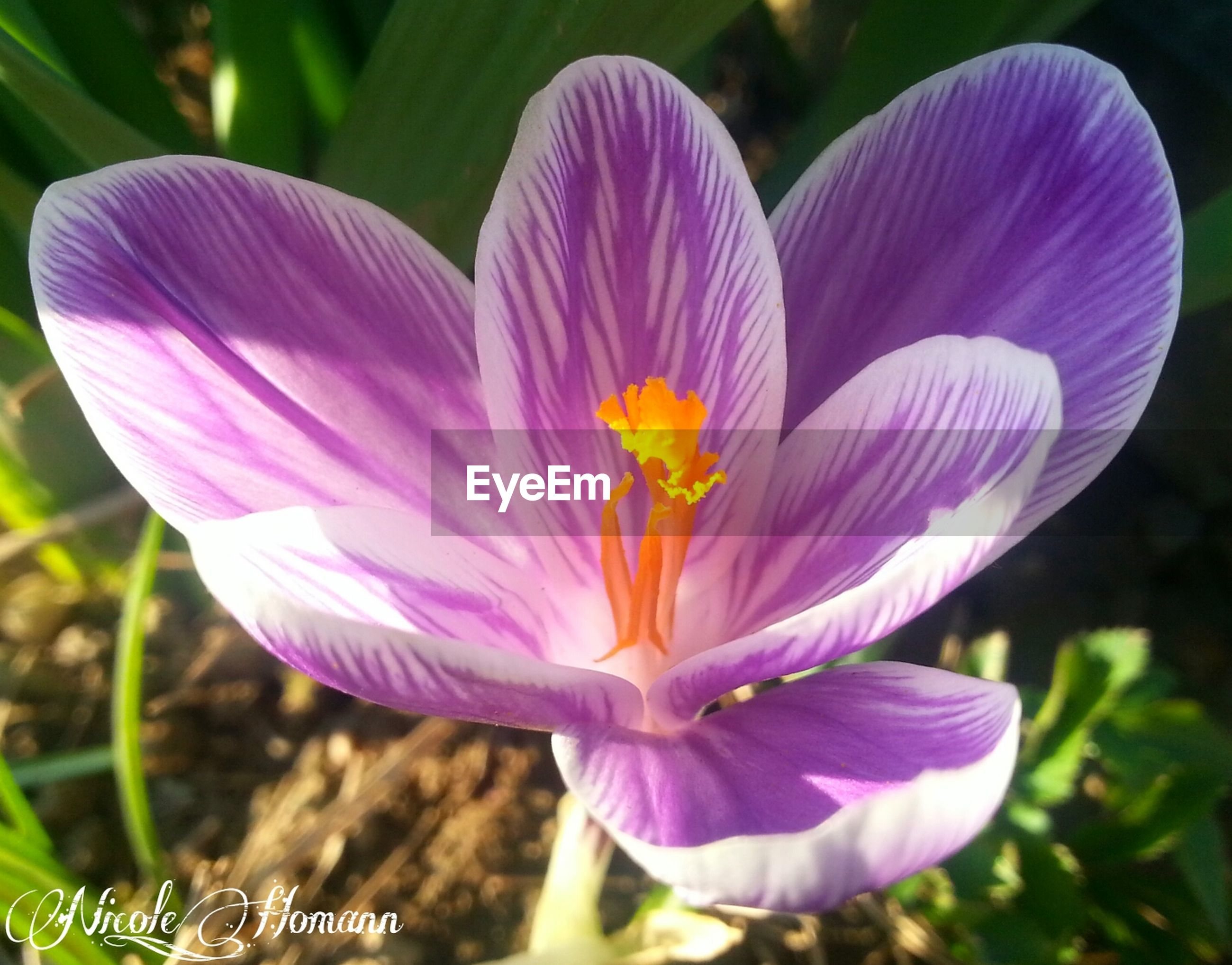 flower, petal, freshness, flower head, fragility, purple, growth, beauty in nature, close-up, blooming, nature, focus on foreground, stamen, pollen, plant, in bloom, single flower, blossom, day, outdoors