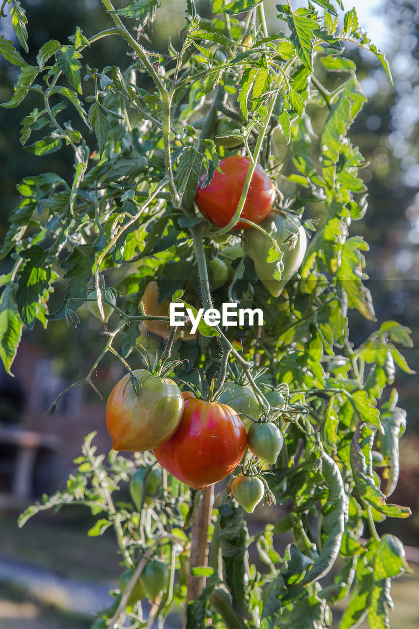red, fruit, food and drink, food, growth, tree, outdoors, nature, tomato, growing, no people, day, ripe, focus on foreground, freshness, green color, healthy eating, leaf, close-up, plant, beauty in nature, branch