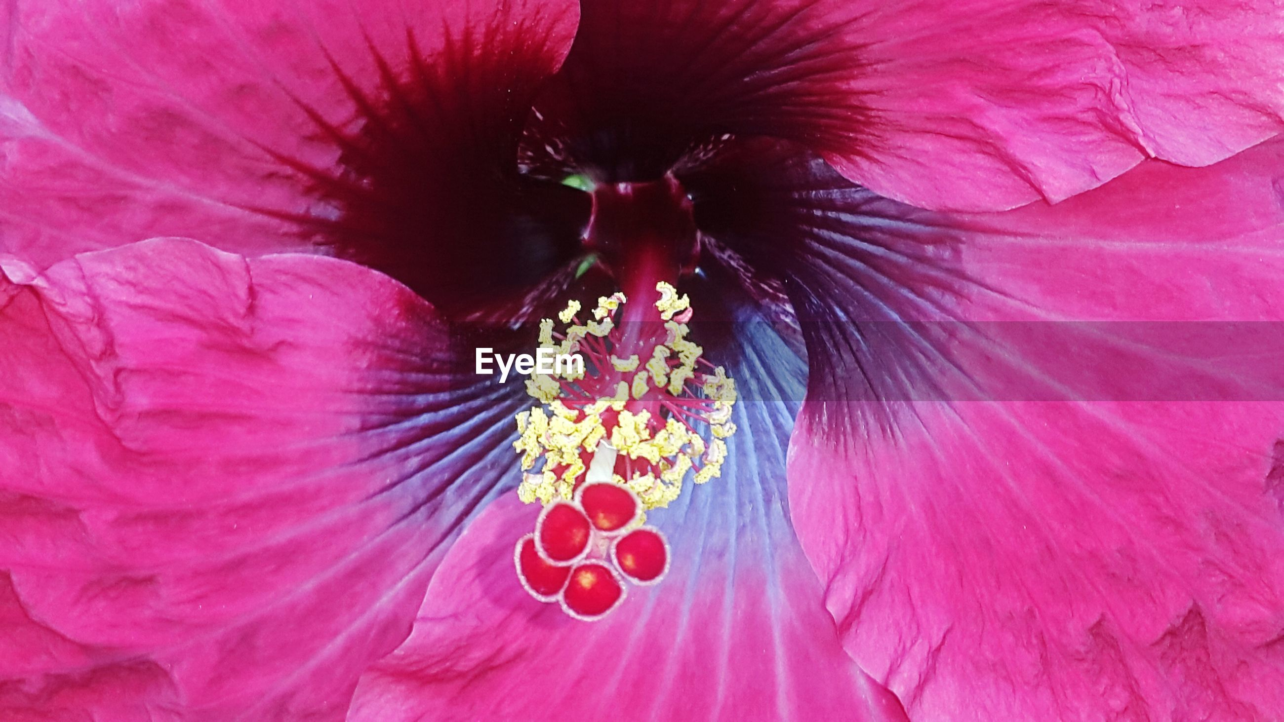 flower, red, pink color, close-up, full frame, flower head, petal, backgrounds, extreme close-up, fragility, single flower, beauty in nature, freshness, nature, natural pattern, part of, pink, outdoors, pollen, no people