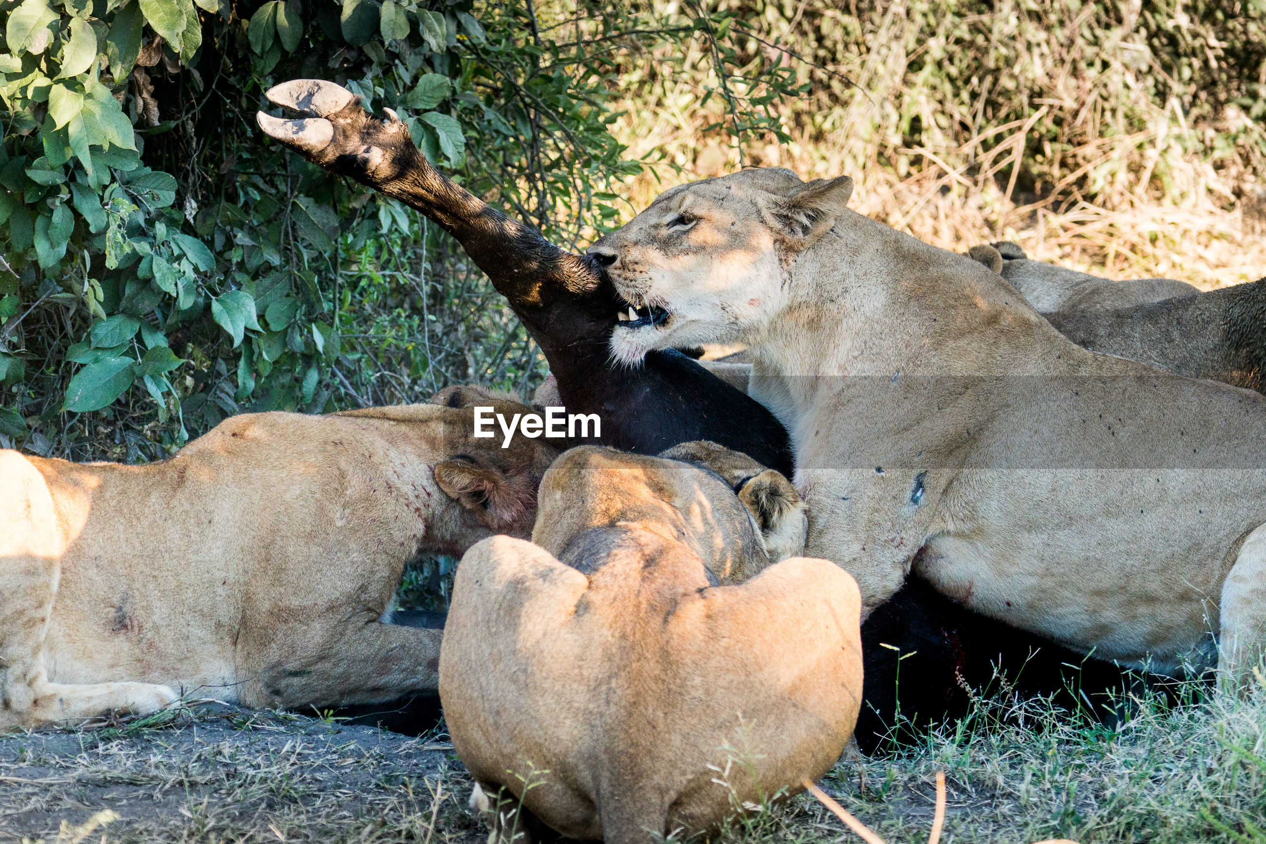 View of lions killing buffalo in savannah