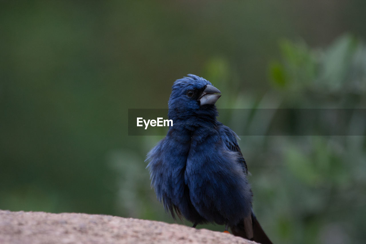 CLOSE-UP OF BIRD PERCHING ON STEM
