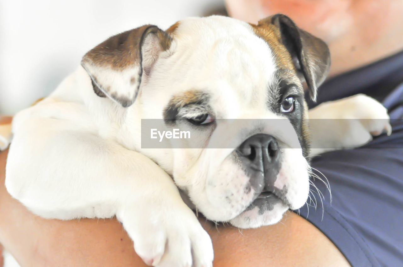 pets, dog, domestic, canine, domestic animals, mammal, one animal, vertebrate, indoors, close-up, relaxation, one person, young animal, real people, human body part, puppy, body part, pet owner