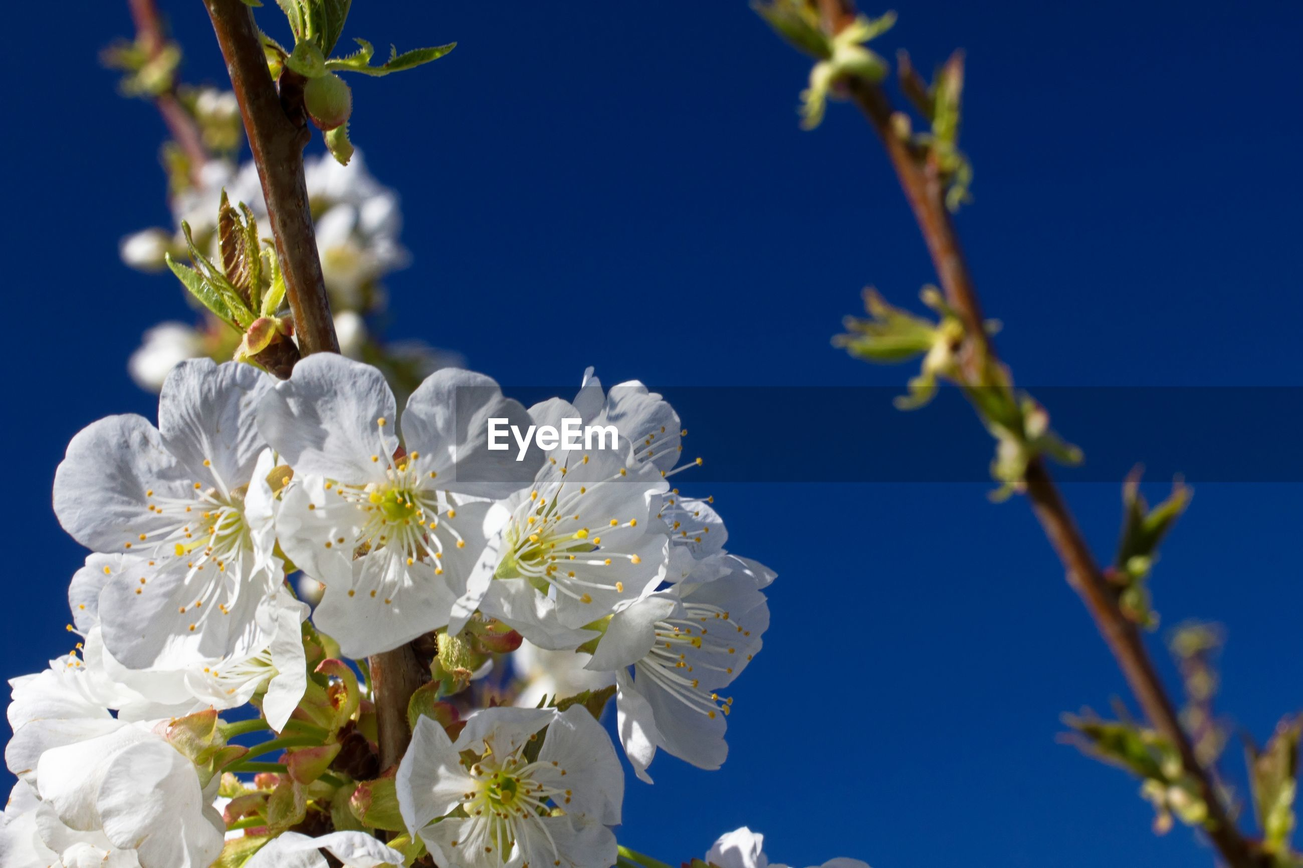 LOW ANGLE VIEW OF WHITE CHERRY BLOSSOMS AGAINST SKY