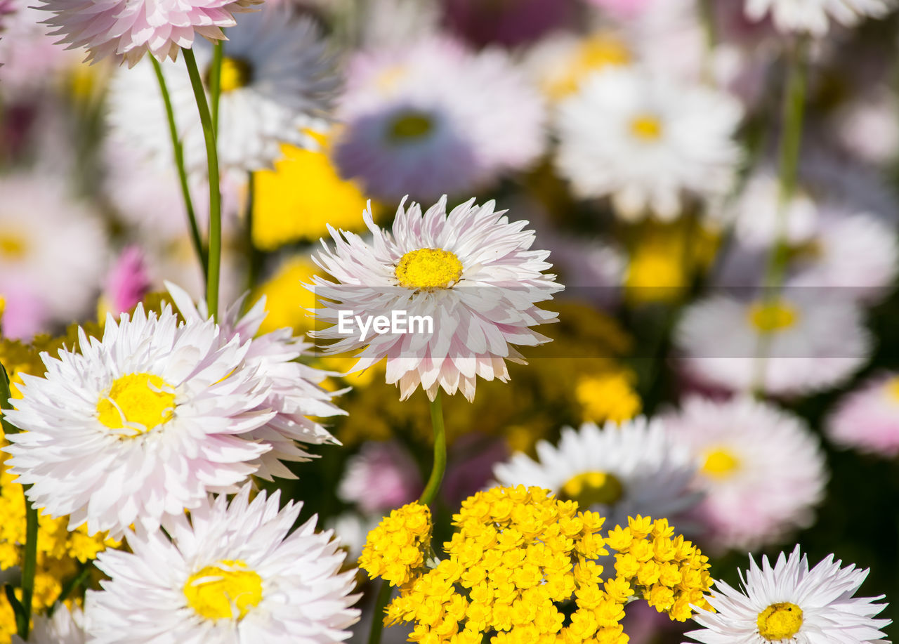 flower, flowering plant, fragility, vulnerability, freshness, plant, beauty in nature, petal, flower head, inflorescence, yellow, close-up, growth, nature, focus on foreground, daisy, day, pollen, no people, selective focus