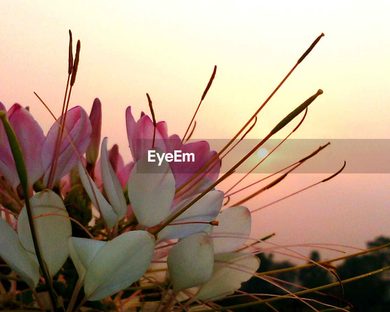 flower, nature, beauty in nature, growth, sunset, no people, close-up, fragility, outdoors, plant, freshness, petal, flower head, sky, day