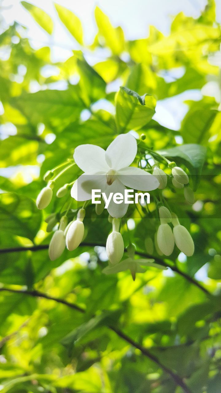 flower, white color, growth, beauty in nature, petal, fragility, freshness, nature, flower head, day, green color, blooming, focus on foreground, no people, outdoors, close-up, tree, periwinkle
