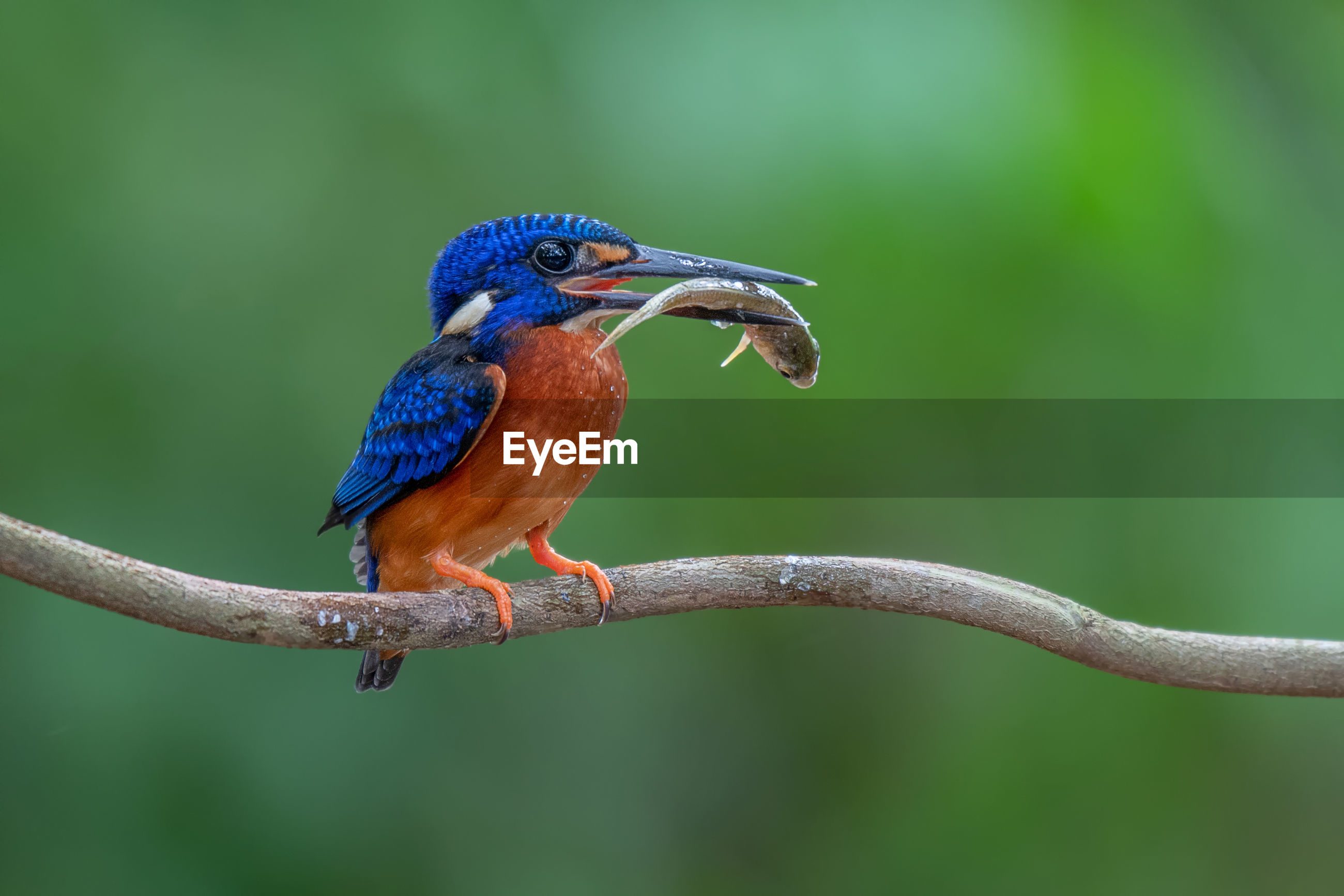 Close-up of kingfisher with fish in beak perching on wood