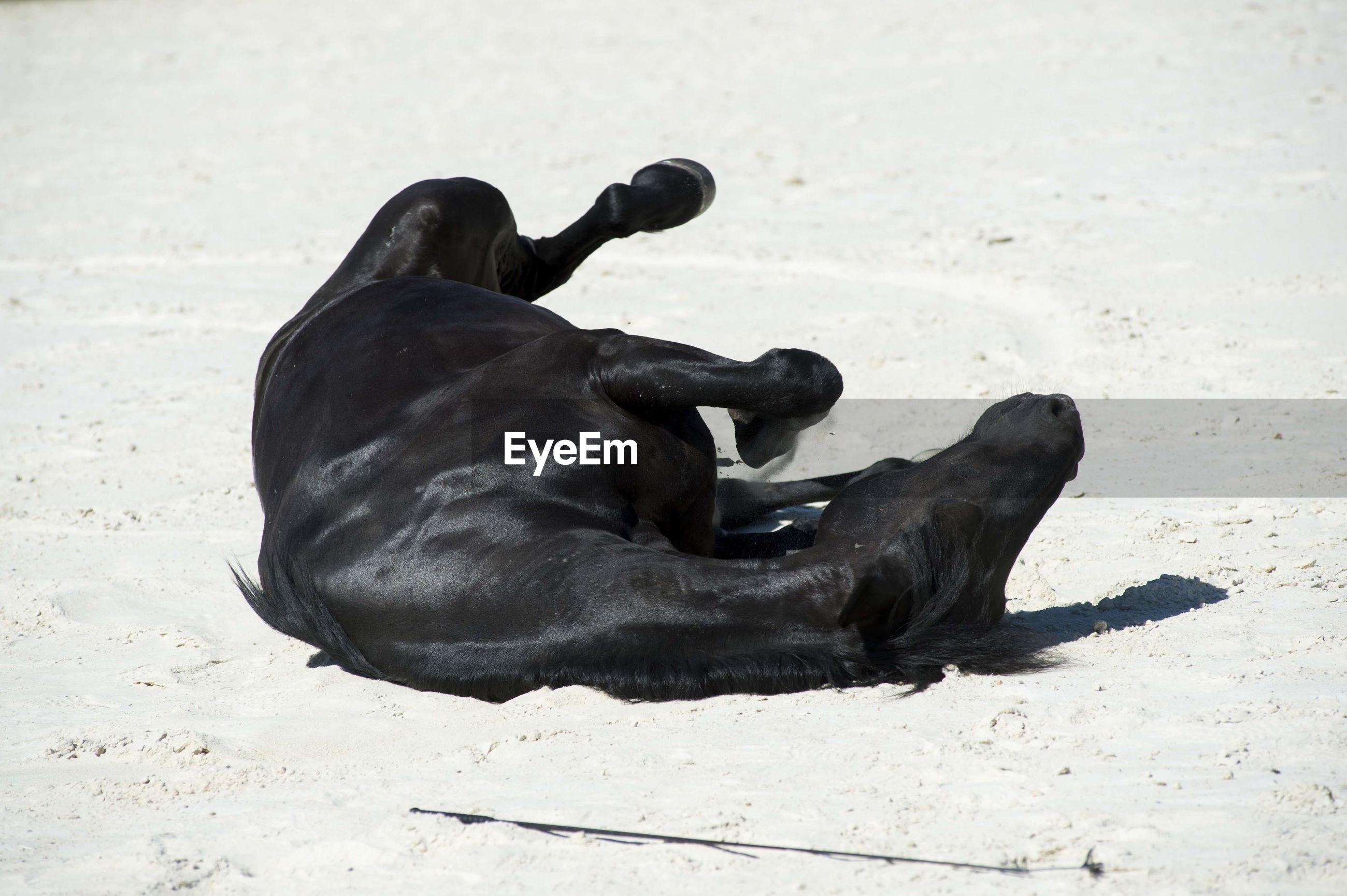 BLACK DOG LYING ON BEACH