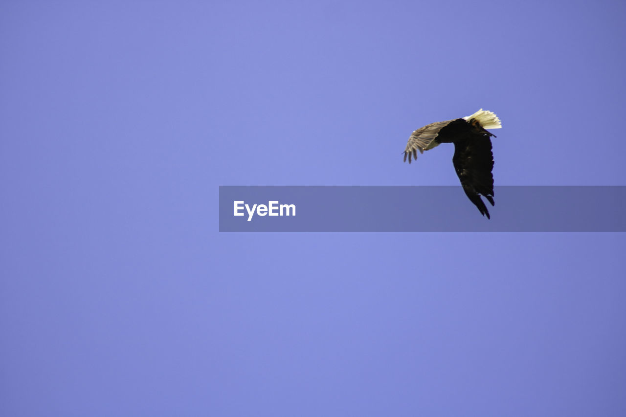 bird, animals in the wild, flying, vertebrate, one animal, animal wildlife, animal, animal themes, spread wings, copy space, clear sky, sky, blue, low angle view, bird of prey, mid-air, no people, motion, nature, day, eagle, outdoors, eagle - bird