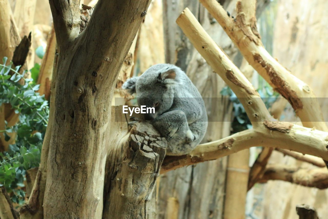 tree, animal wildlife, animal, animal themes, animals in the wild, branch, mammal, plant, one animal, no people, vertebrate, nature, koala, day, tree trunk, focus on foreground, trunk, sitting, relaxation, outdoors