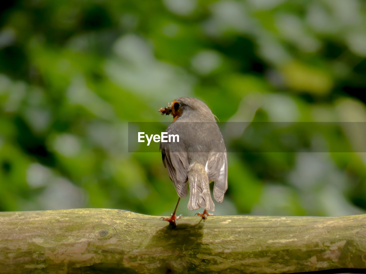 animal themes, one animal, animal, bird, animals in the wild, vertebrate, animal wildlife, focus on foreground, perching, day, no people, wood - material, close-up, nature, full length, selective focus, outdoors, sparrow, solid, tree, mouth open