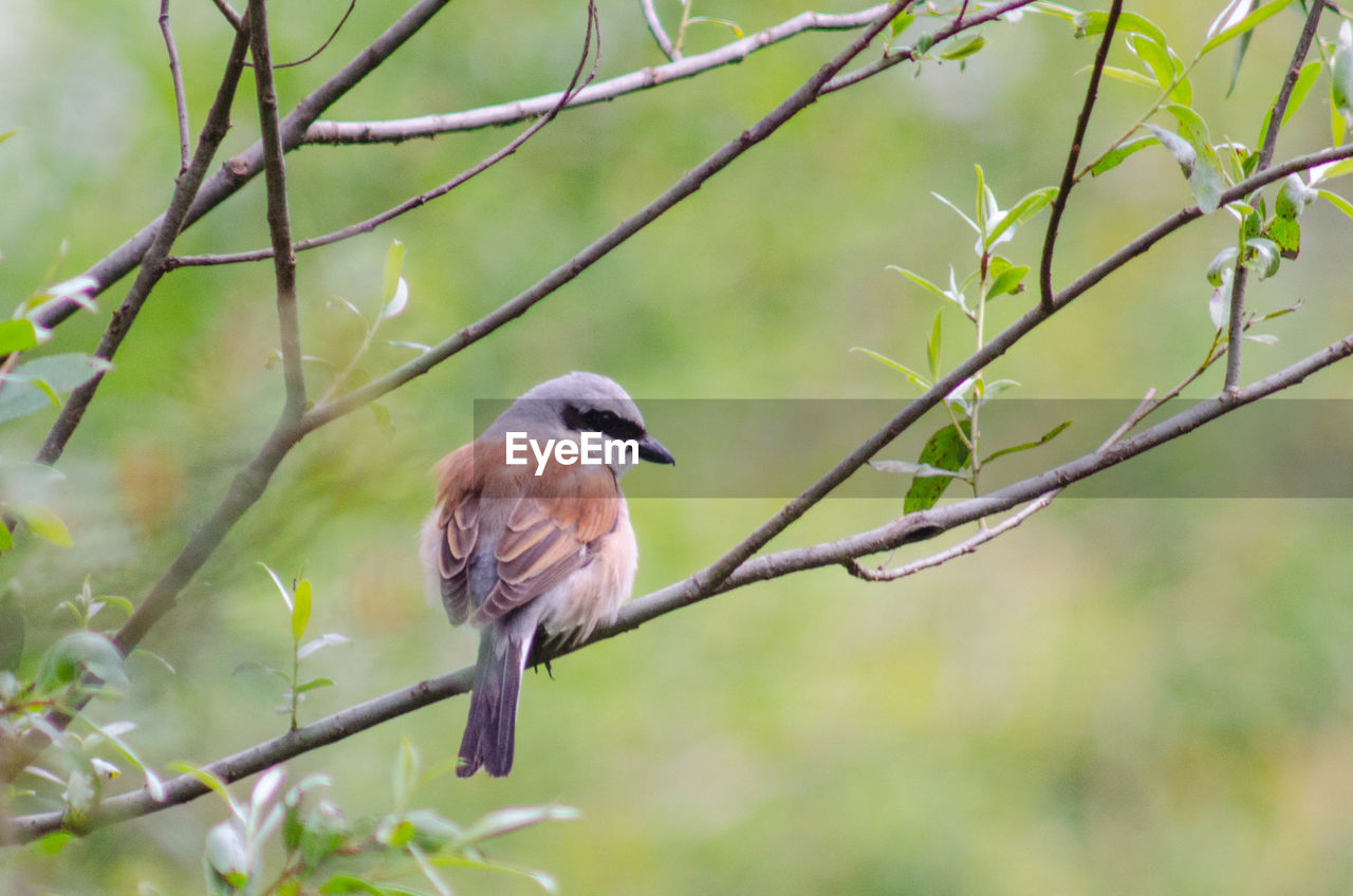 animals in the wild, animal wildlife, vertebrate, one animal, animal themes, bird, animal, perching, plant, tree, branch, nature, focus on foreground, day, no people, outdoors, twig, selective focus, green color, close-up