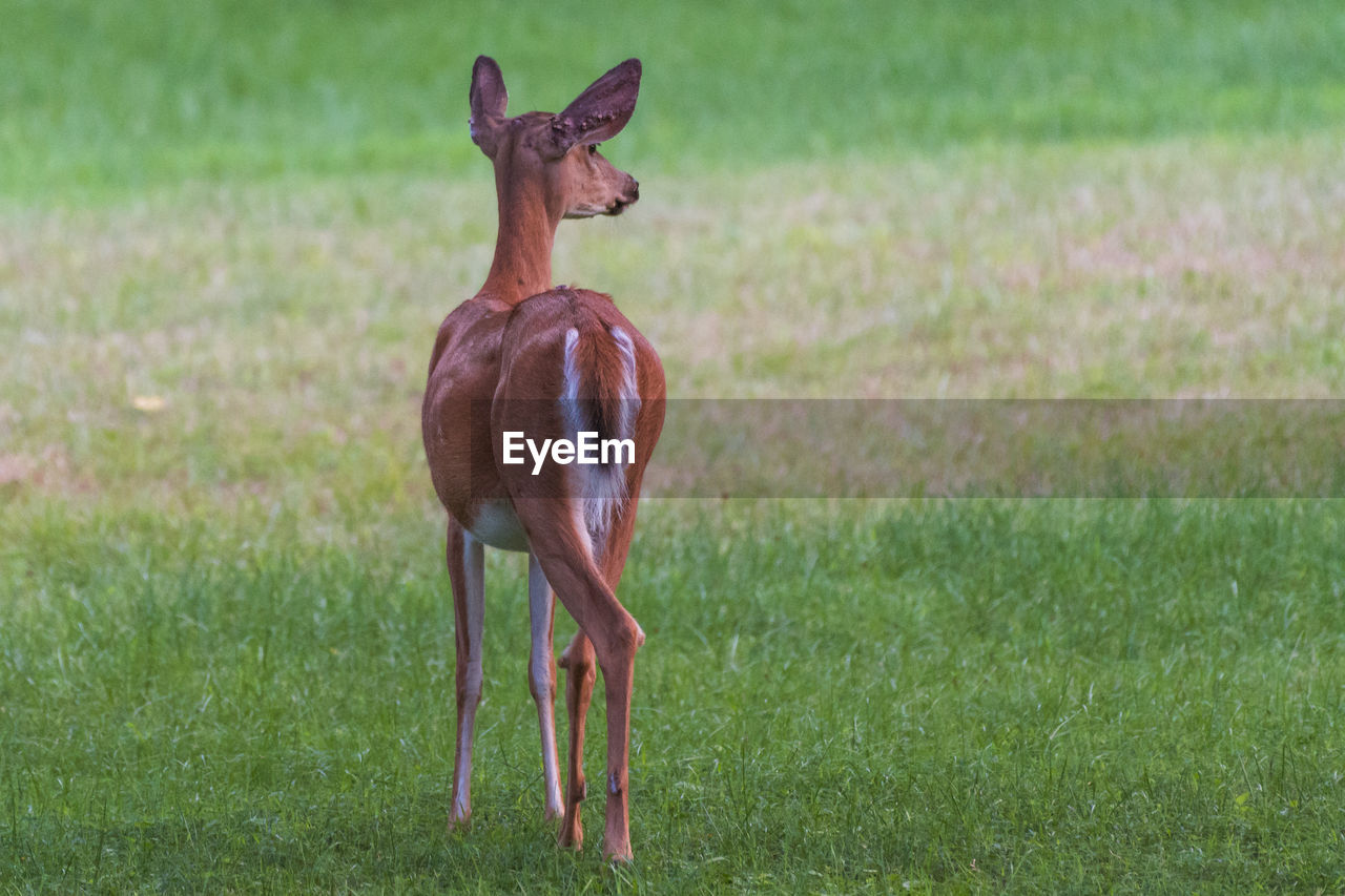 animal themes, animal, grass, animal wildlife, vertebrate, mammal, animals in the wild, plant, land, one animal, field, no people, nature, standing, day, brown, green color, deer, domestic animals, outdoors, herbivorous