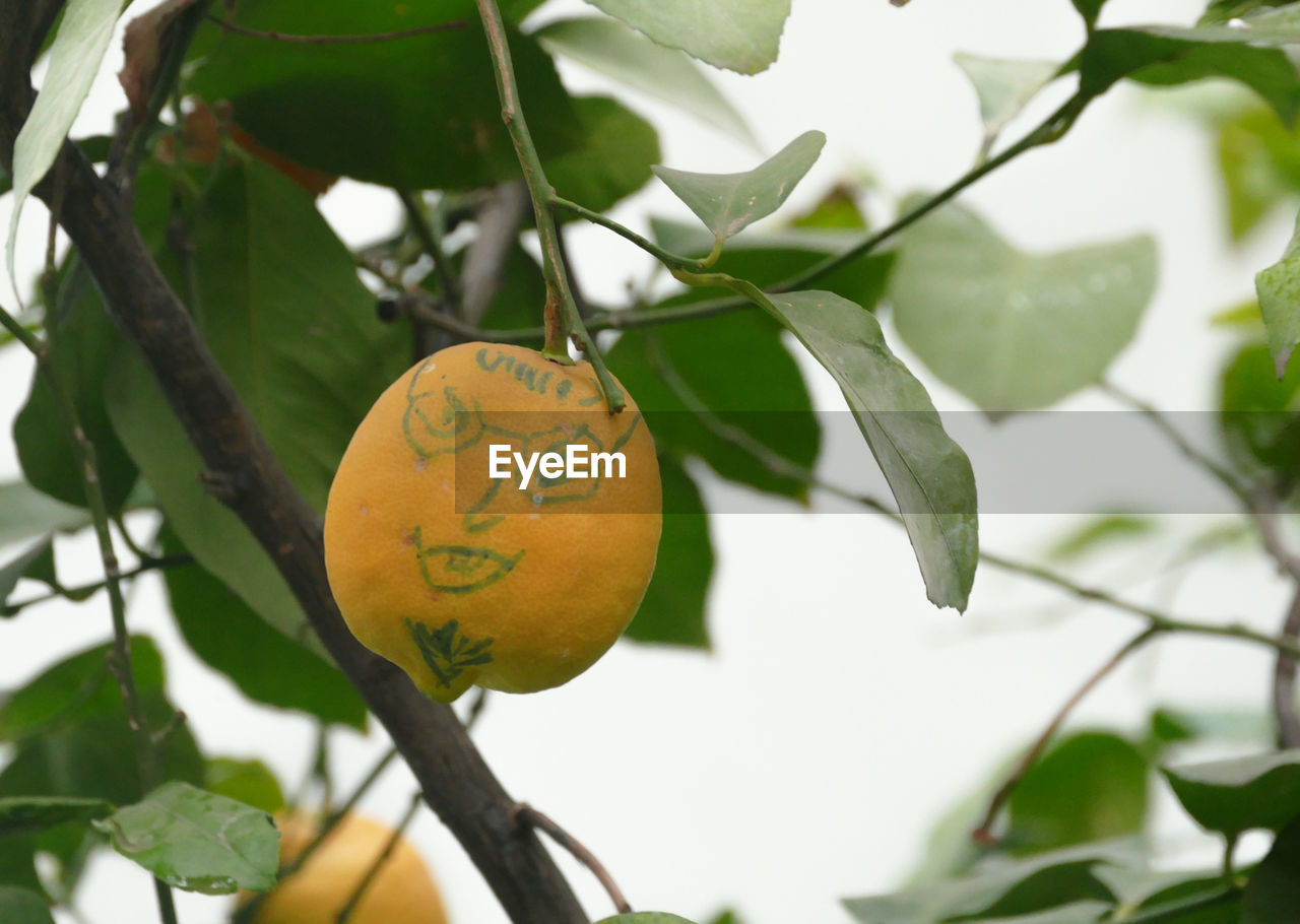 leaf, plant part, plant, tree, fruit, growth, healthy eating, close-up, focus on foreground, food, no people, food and drink, nature, branch, day, green color, outdoors, freshness, low angle view, text, ripe