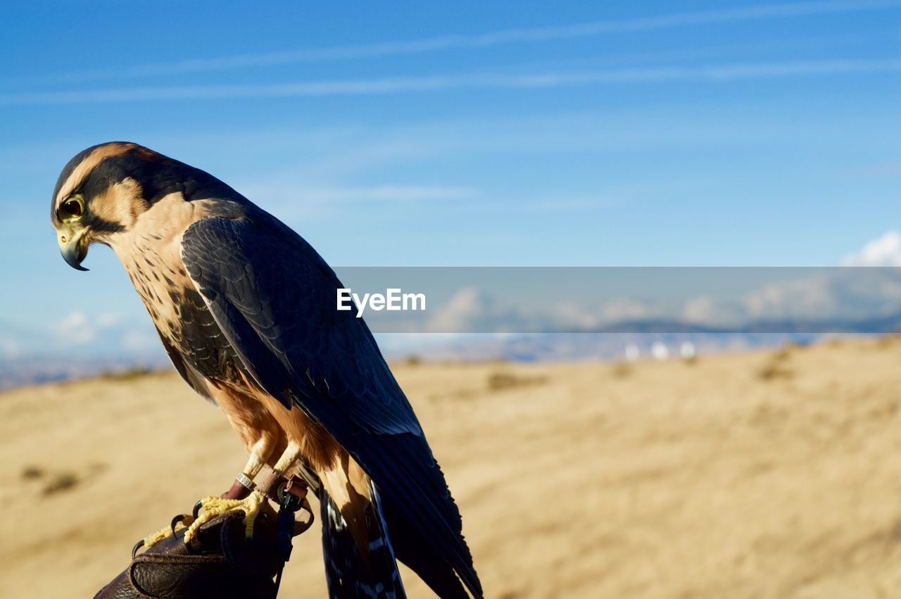 Close-up of hawk perching on falconry against sky