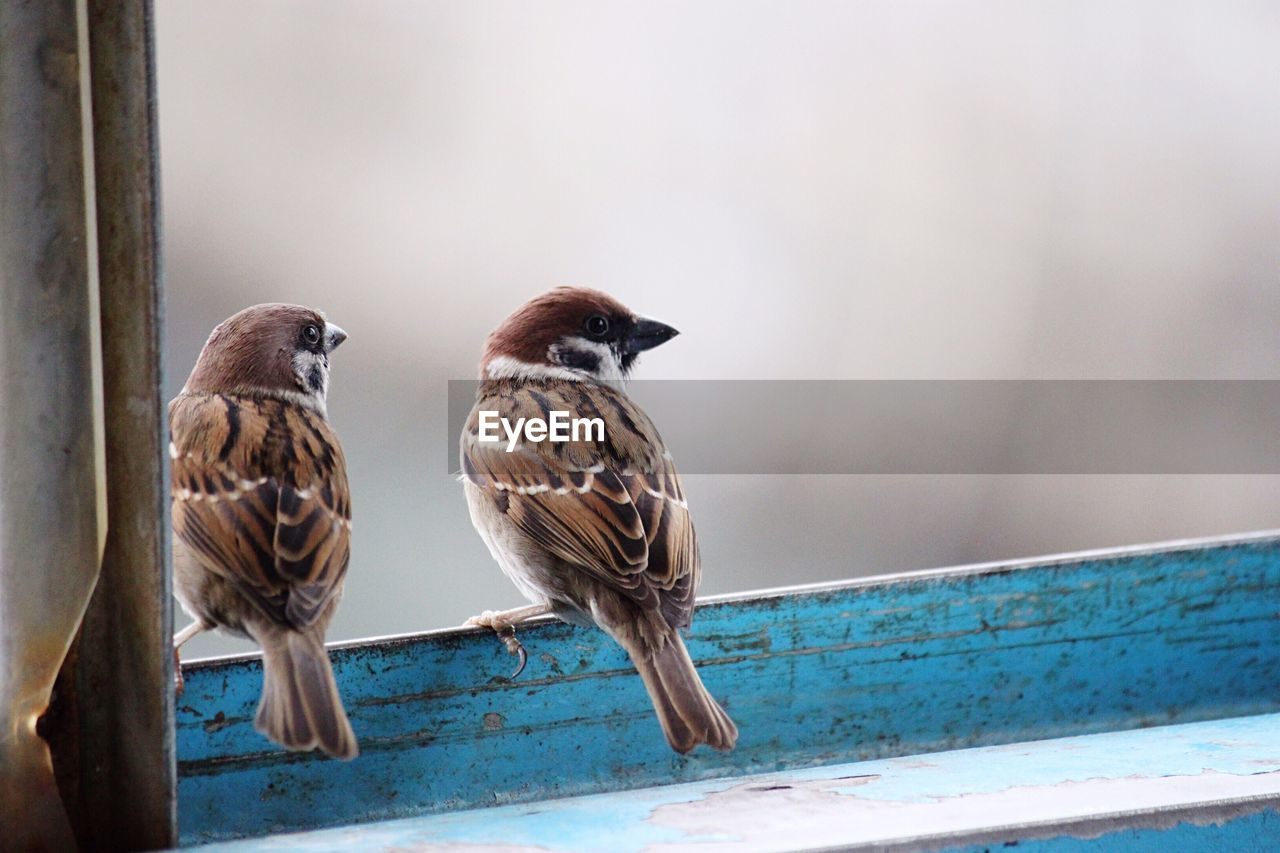 bird, animal themes, animal, vertebrate, animal wildlife, animals in the wild, group of animals, perching, two animals, focus on foreground, sparrow, day, railing, no people, nature, outdoors, close-up, togetherness, wood - material