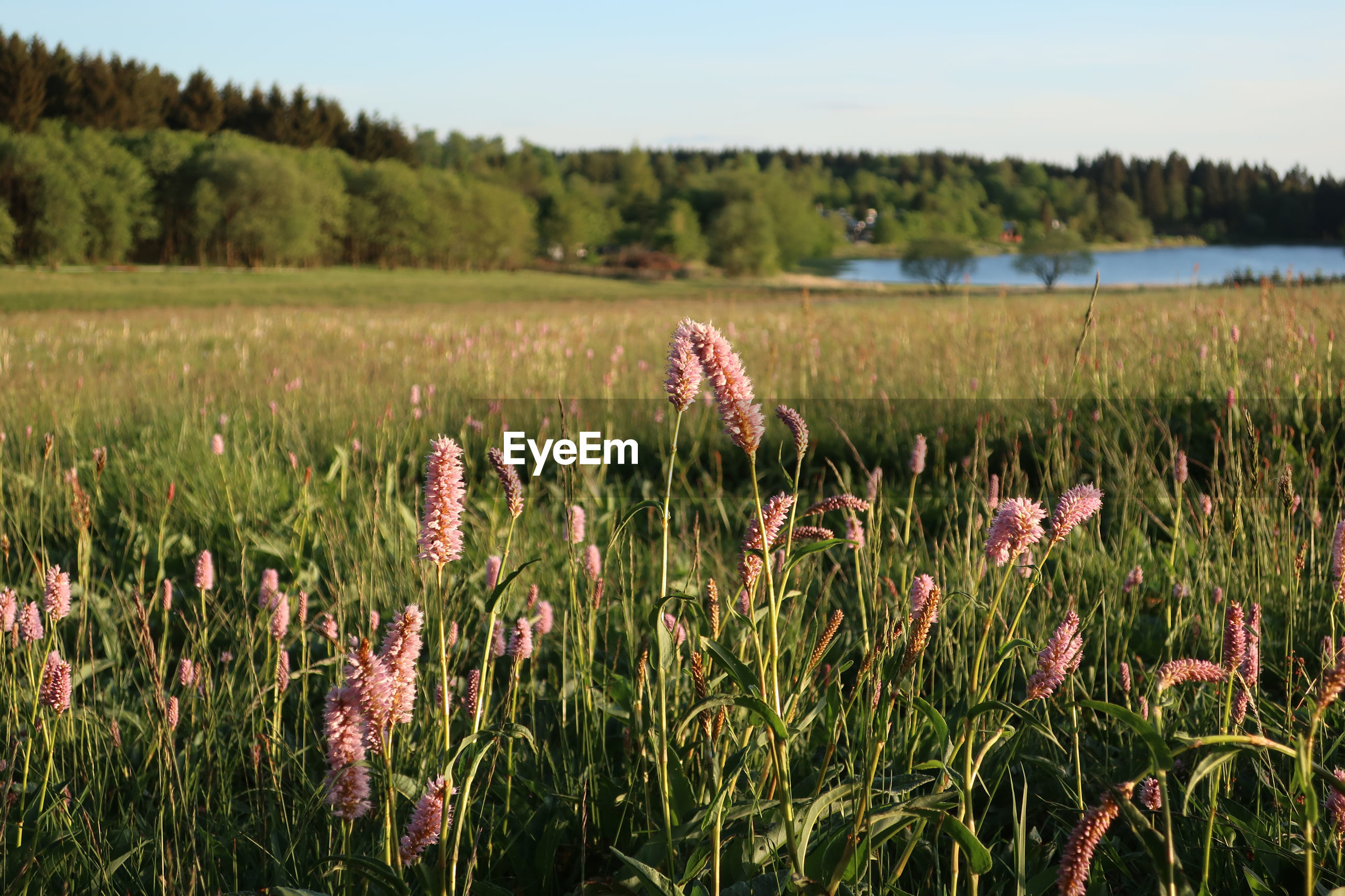 plant, grass, natural environment, landscape, land, nature, prairie, sky, meadow, grassland, beauty in nature, field, environment, growth, flower, scenics - nature, no people, tranquility, rural area, wetland, pasture, rural scene, flowering plant, wildflower, tranquil scene, tree, agriculture, day, non-urban scene, outdoors, marsh, water, food, fen, crop, green, freshness, focus on foreground, pink, clear sky, food and drink