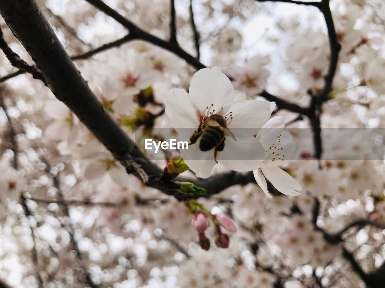 flowering plant, flower, fragility, plant, vulnerability, freshness, growth, blossom, beauty in nature, tree, springtime, branch, white color, petal, close-up, cherry blossom, flower head, nature, pollen, no people, cherry tree, outdoors, pollination