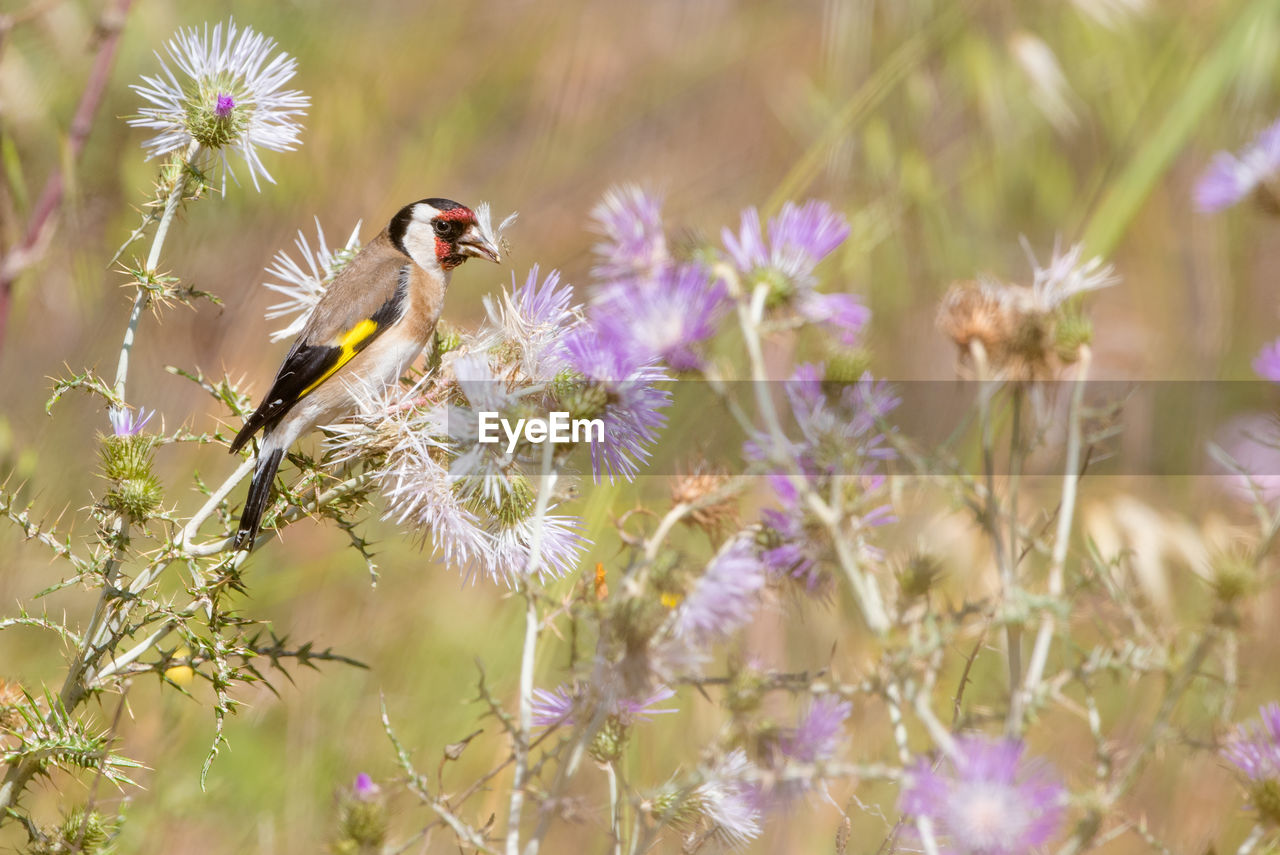flower, flowering plant, plant, animal, one animal, fragility, animal themes, vulnerability, animal wildlife, animals in the wild, freshness, beauty in nature, growth, petal, bird, flower head, nature, selective focus, vertebrate, close-up, no people, purple, pollination