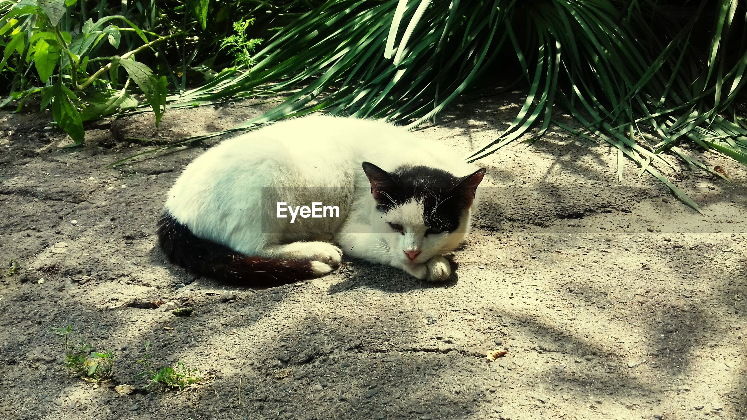animal themes, one animal, domestic animals, pets, mammal, zoology, cat, relaxation, domestic cat, resting, vertebrate, animal, feline, outdoors, day, stray animal, footpath, no people, loyalty, pampered pets